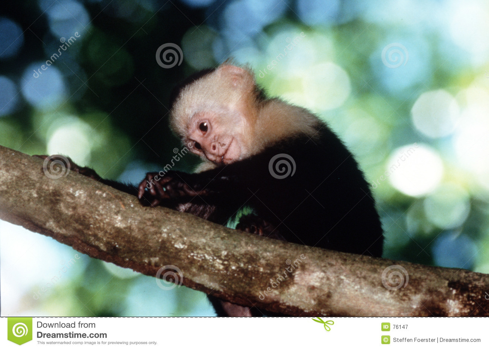 Capuchin πίθηκος