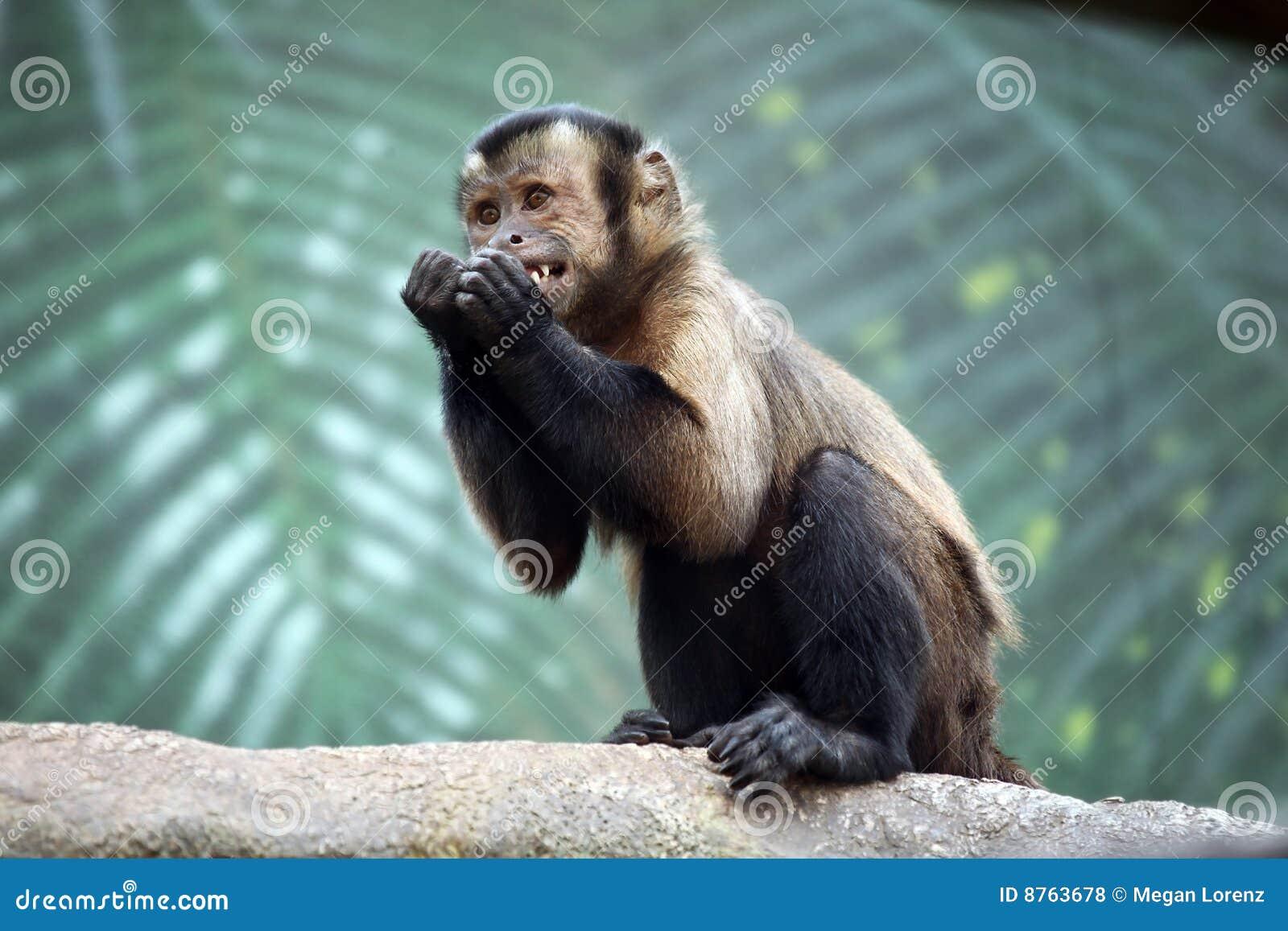 Capuchin Aap