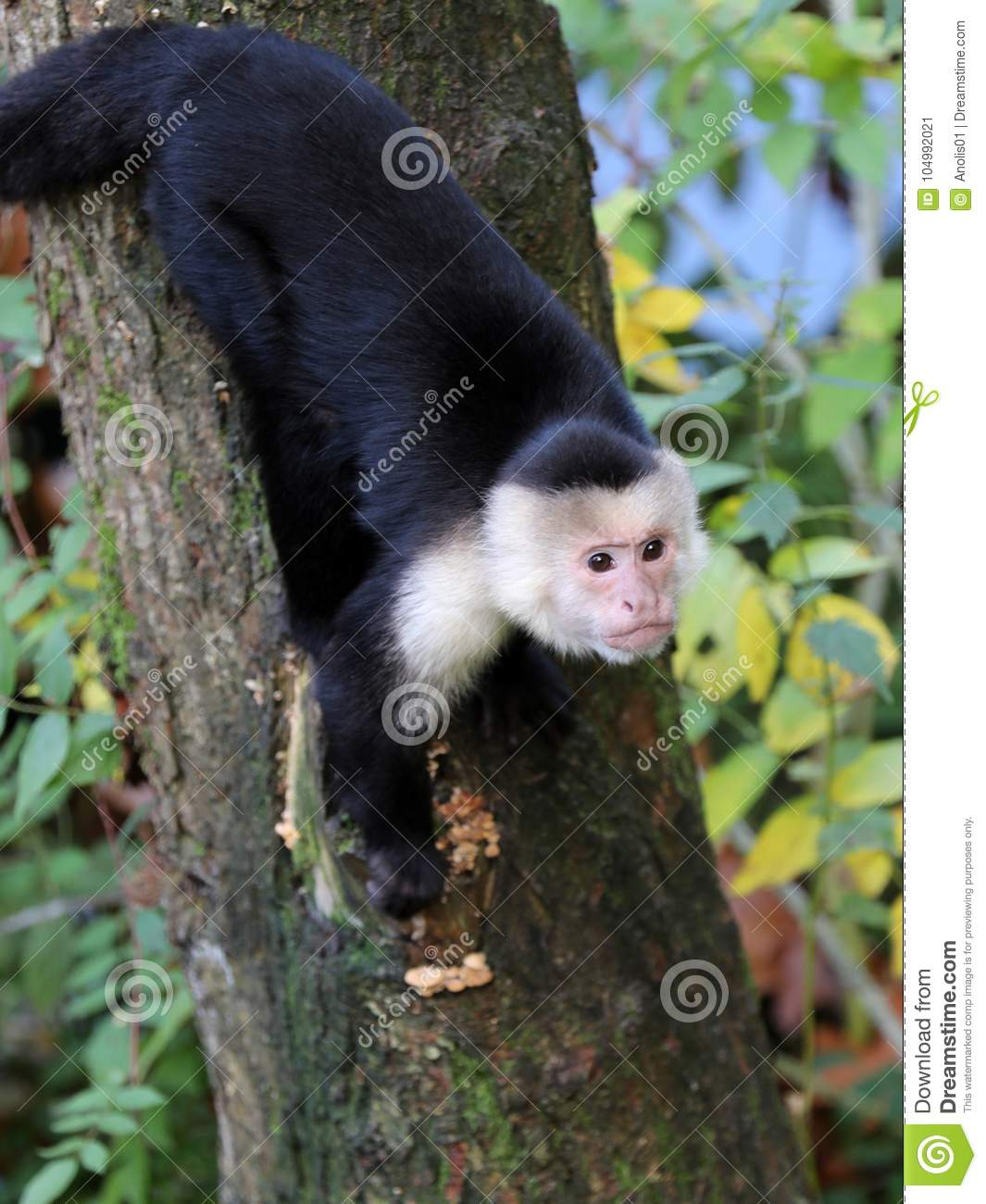 Capuchin monkey stock image  Image of costarica, tree