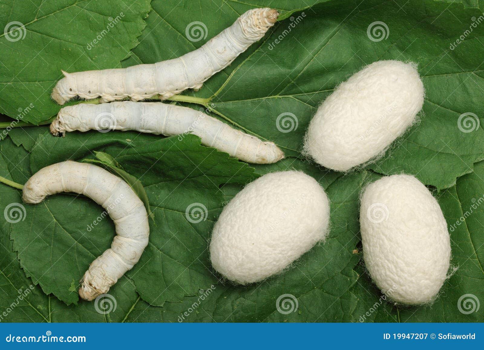 Gusanos De Seda Capullos de seda con el gusano