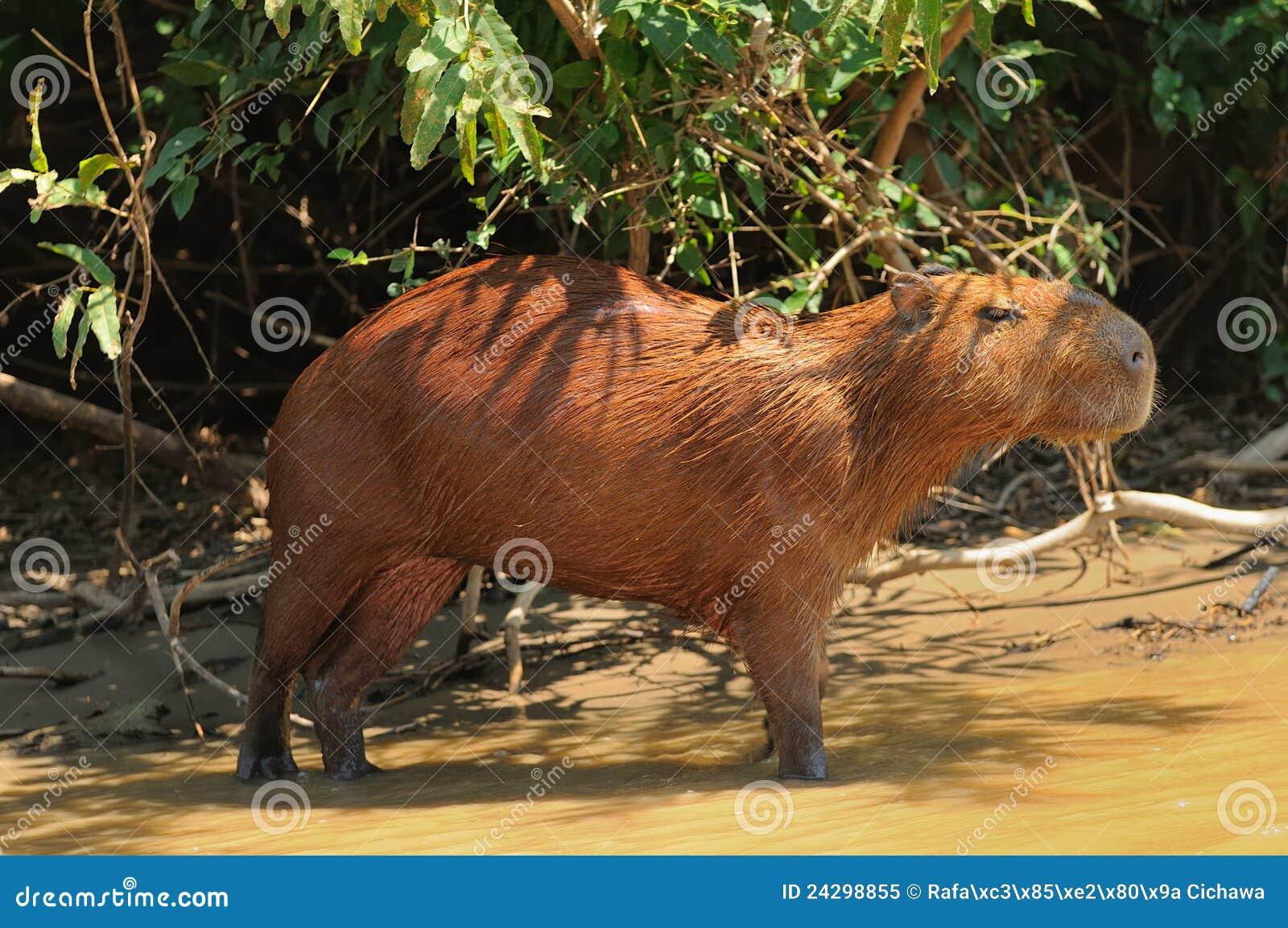 Capybara Боливии области Амазонкы одичалый