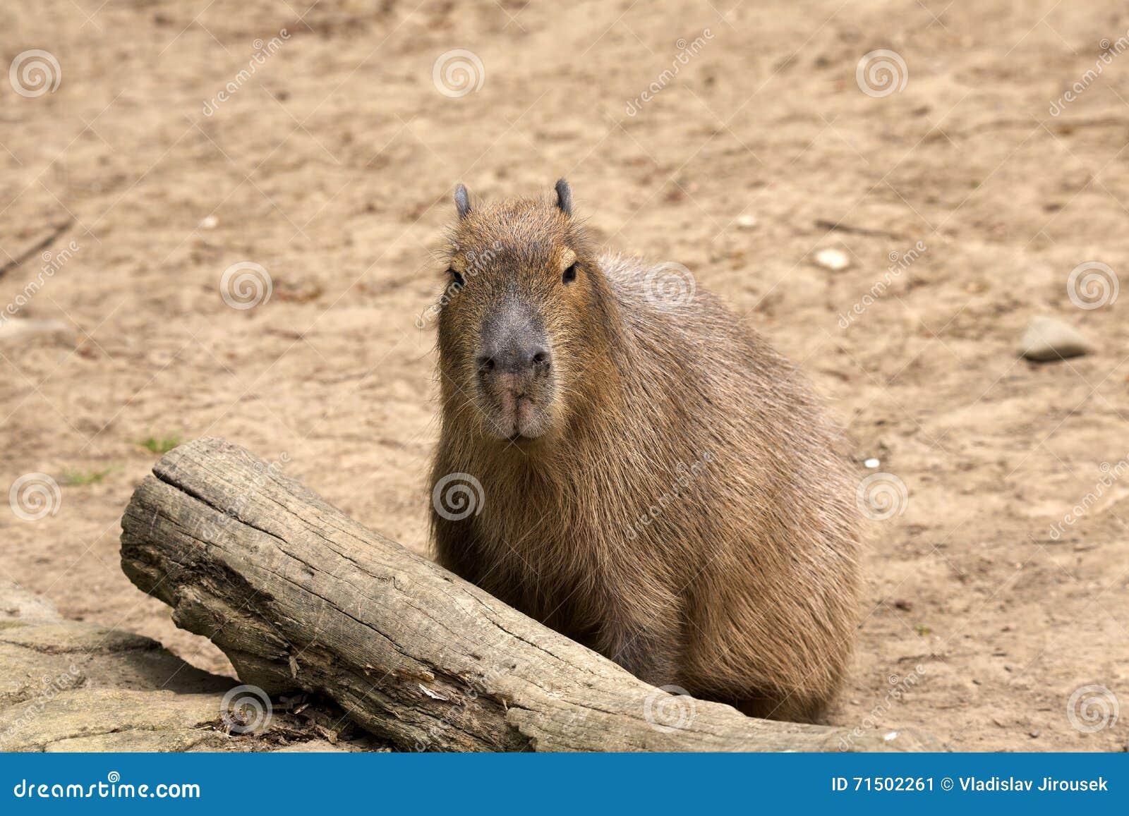 Capybara de los hydrochaeris del Hydrochoerus, el roedor más grande
