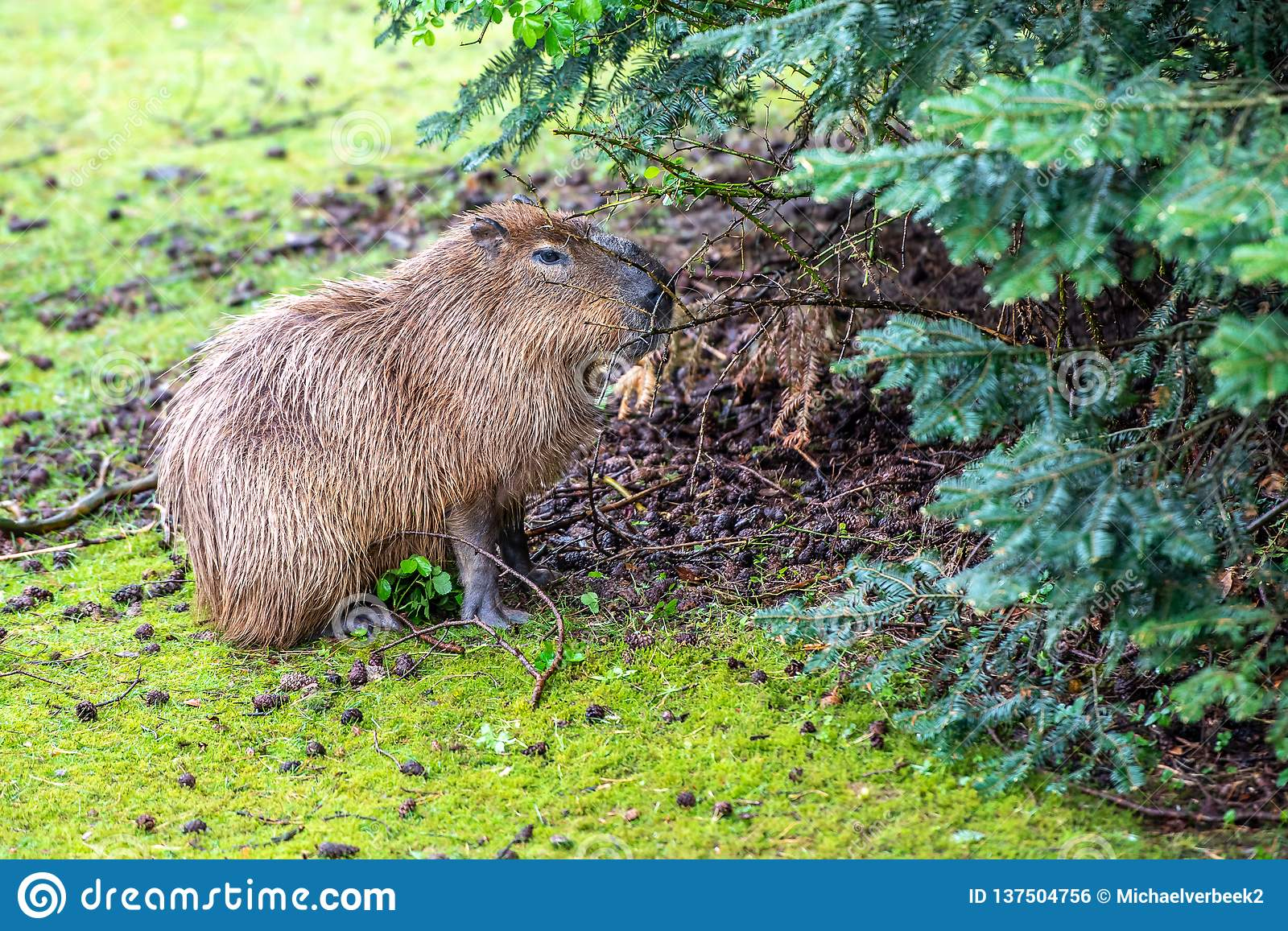 Capybara is eating on the grass