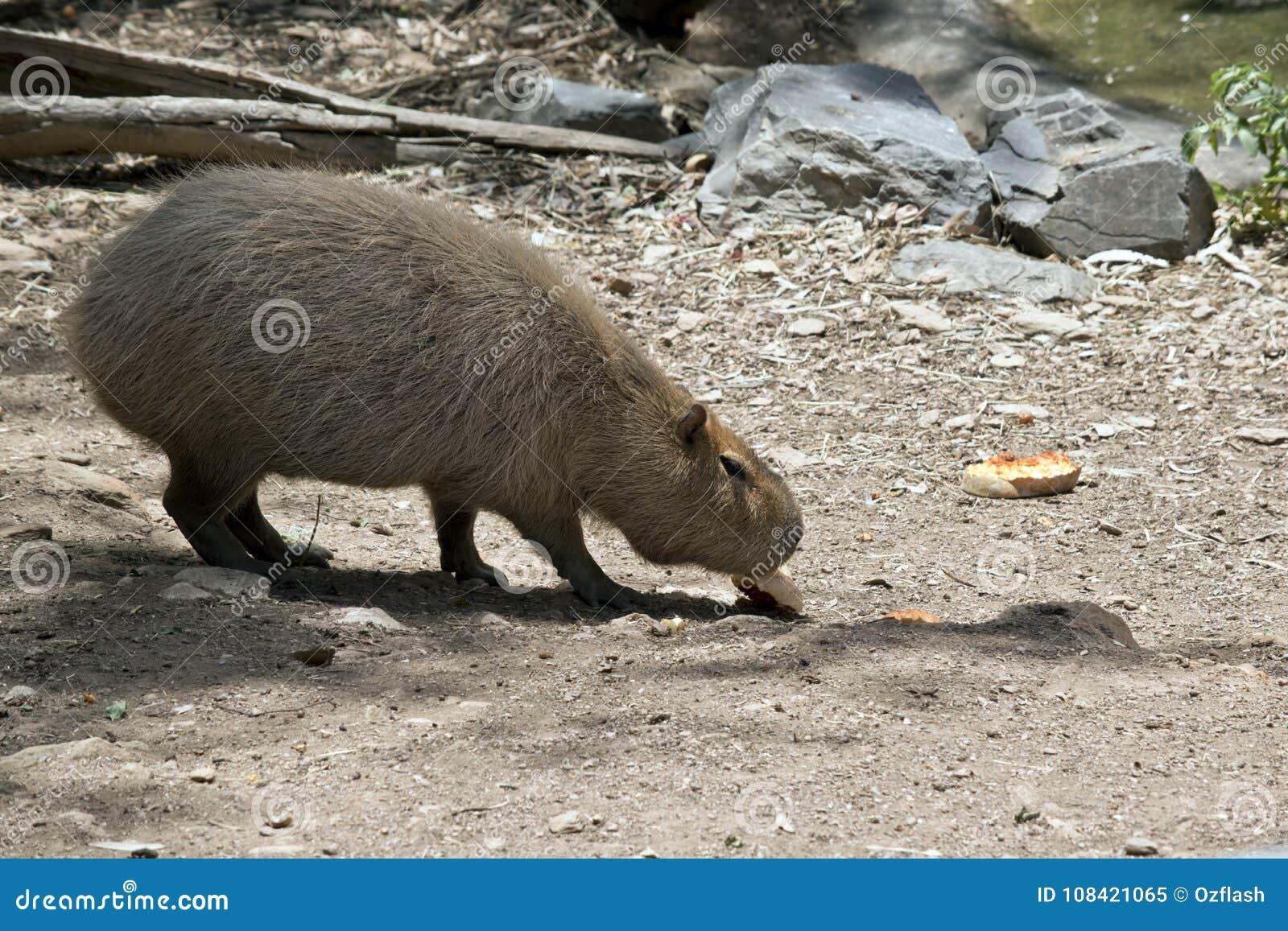 Capybara eet