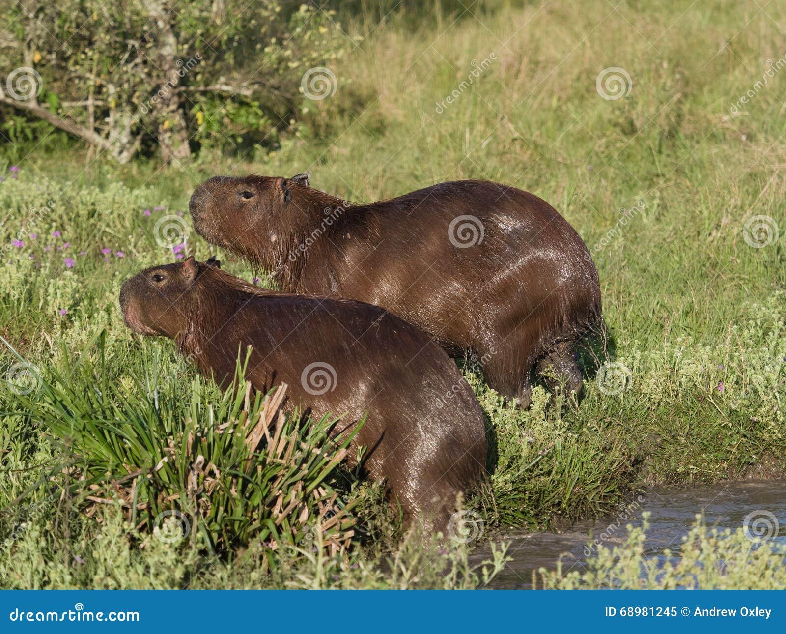 Capybara, el roedor más grande