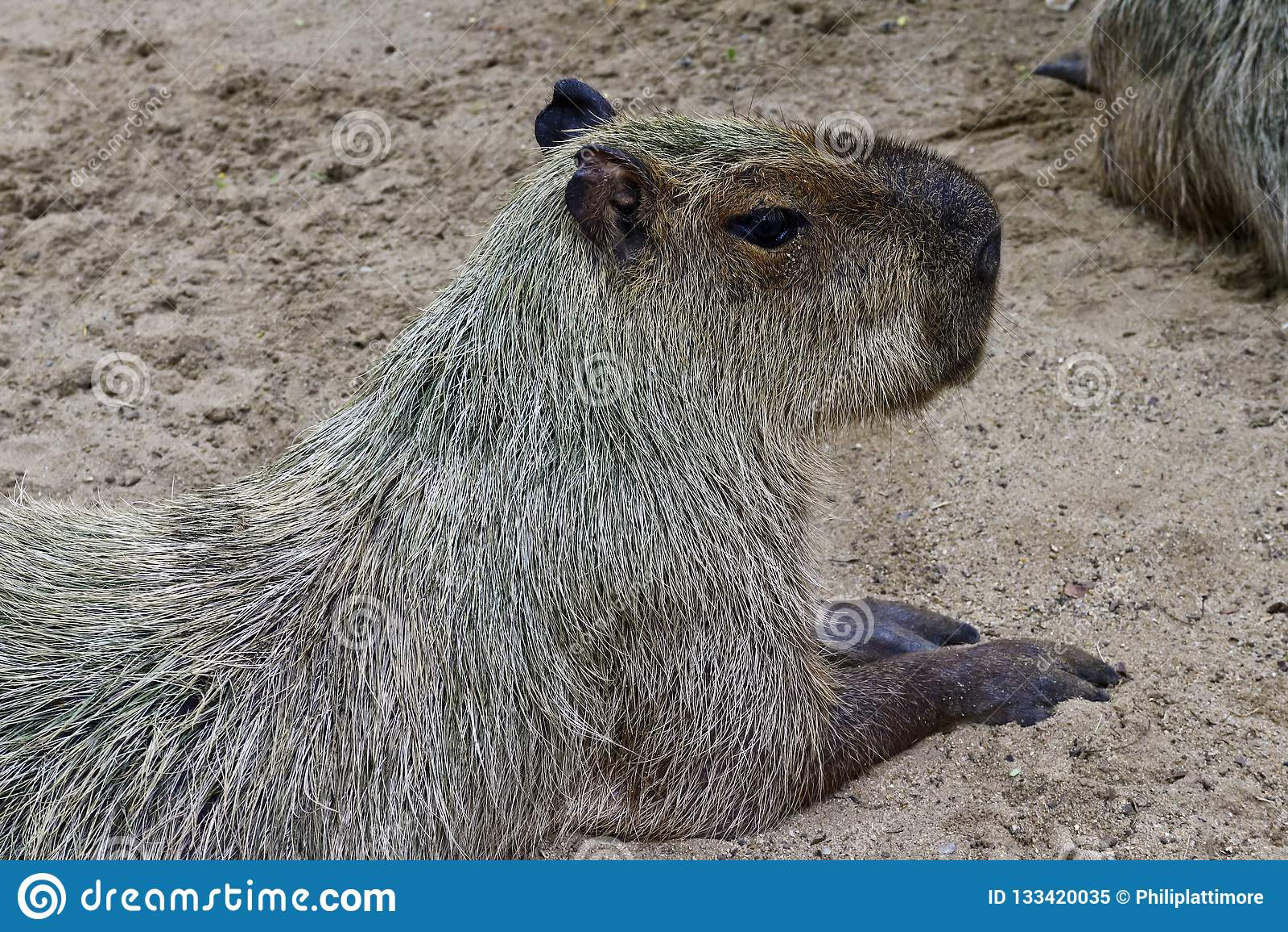 Capybara el roedor más grande del mundo de un parque del safari