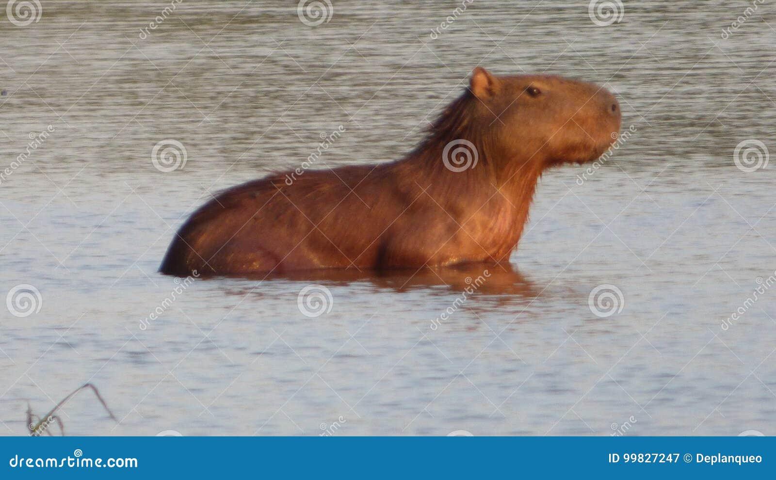 Capybara en Bolivia, Suramérica
