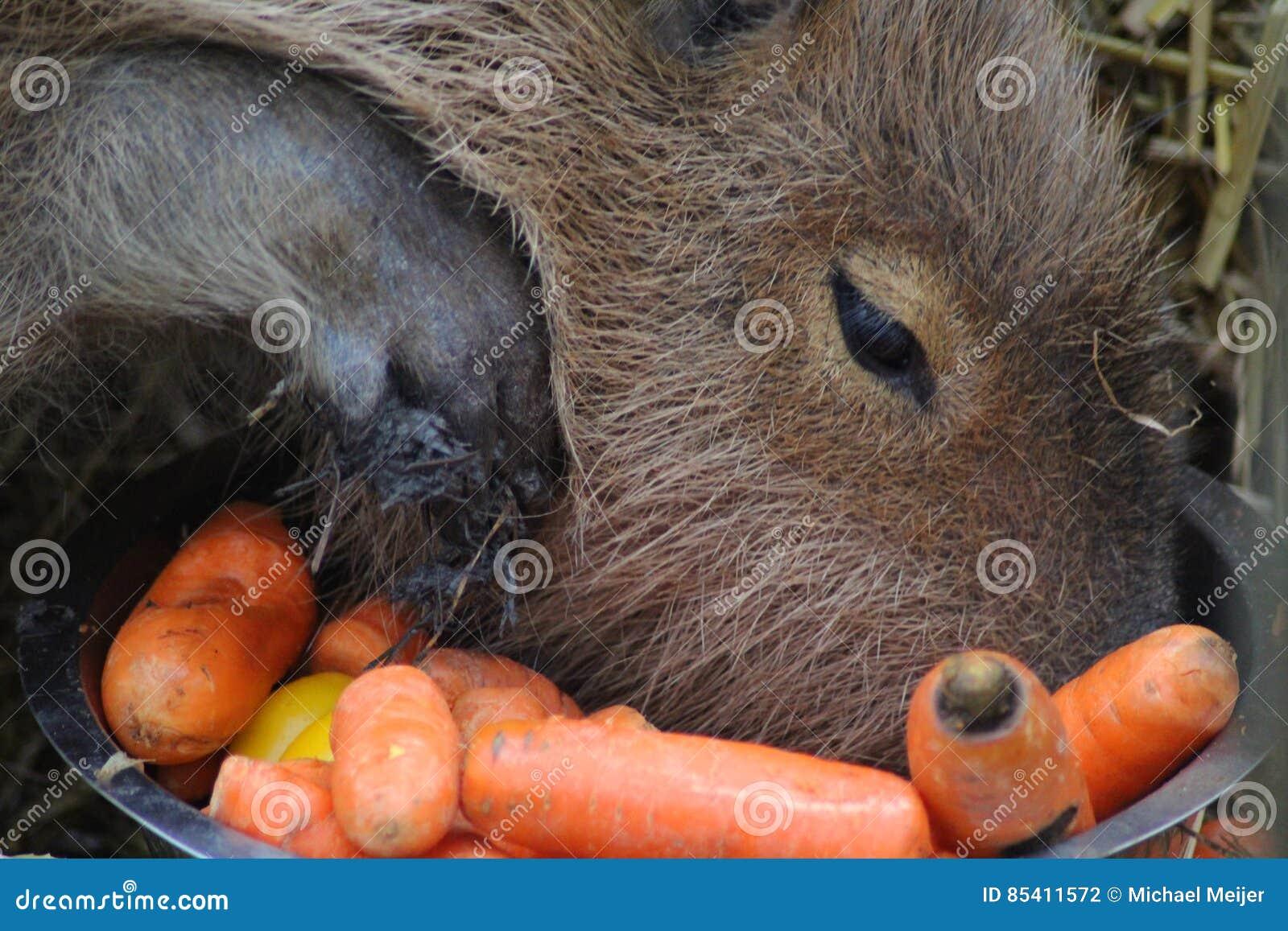 Capybara het eten