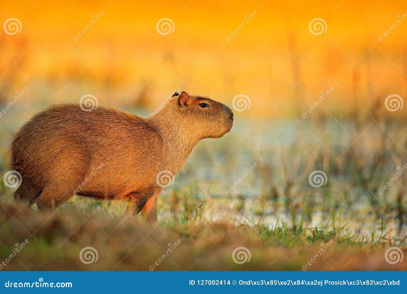 Capybara, hydrochaeris de Hydrochoerus, la plus grande souris dans l eau avec la lumière de soirée pendant le coucher du soleil,