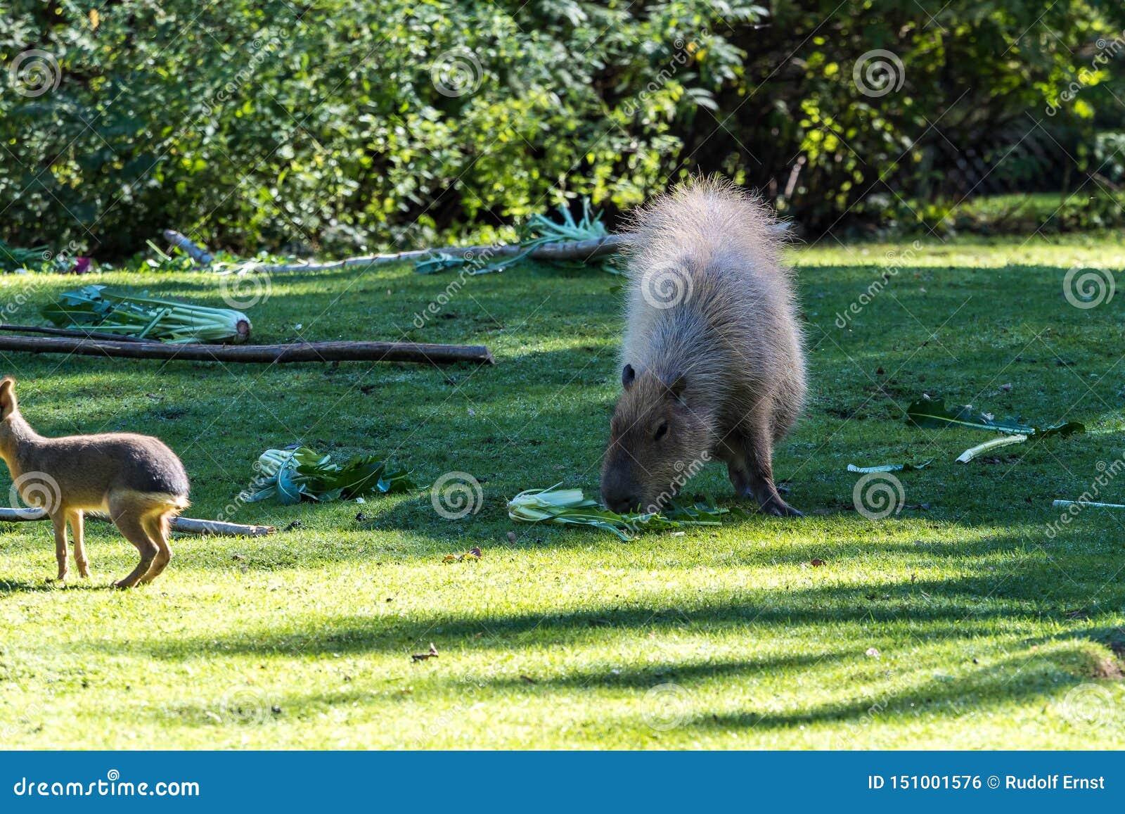 Capybara, hydrochaeris del Hydrochoerus pastando en hierba verde fresca