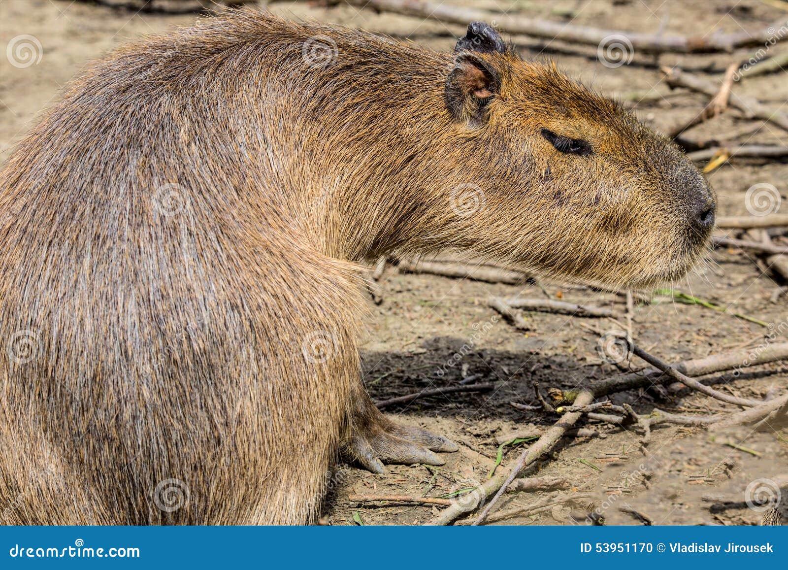 Capybara, hydrochaeris Hydrochoerus, το μεγαλύτερο τρωκτικό