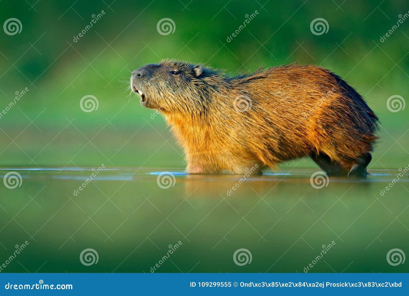 Capybara, Hydrochoerus hydrochaeris, größte Maus im Wasser mit Abendlicht während des Sonnenuntergangs, Pantanal, Brasilien Szene
