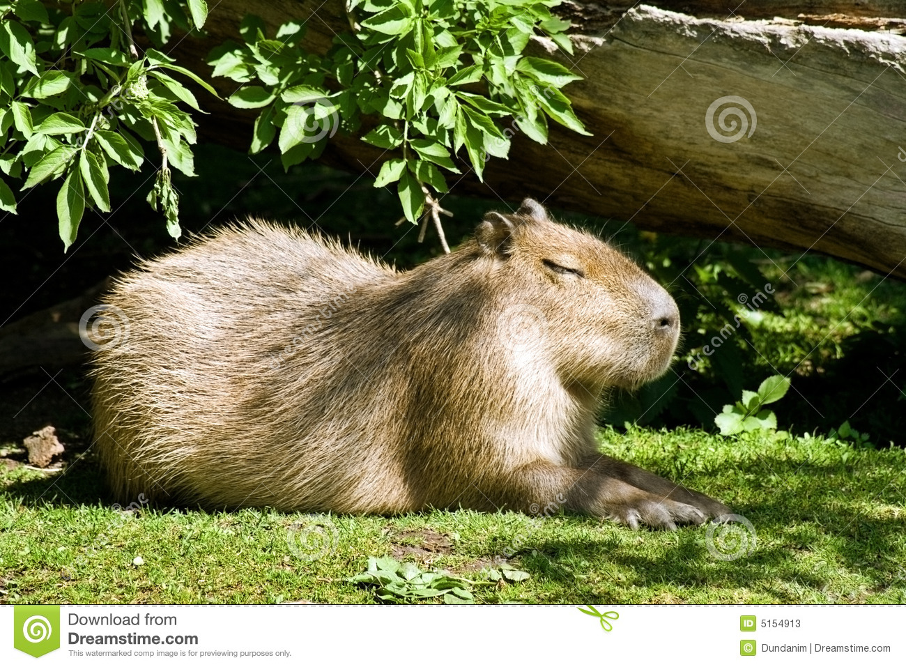 a description of the largest rodent in the world Combined range of all rodent species  the largest known rodent was josephoartigasia  in mammal species of the world have provisionally adopted a five.