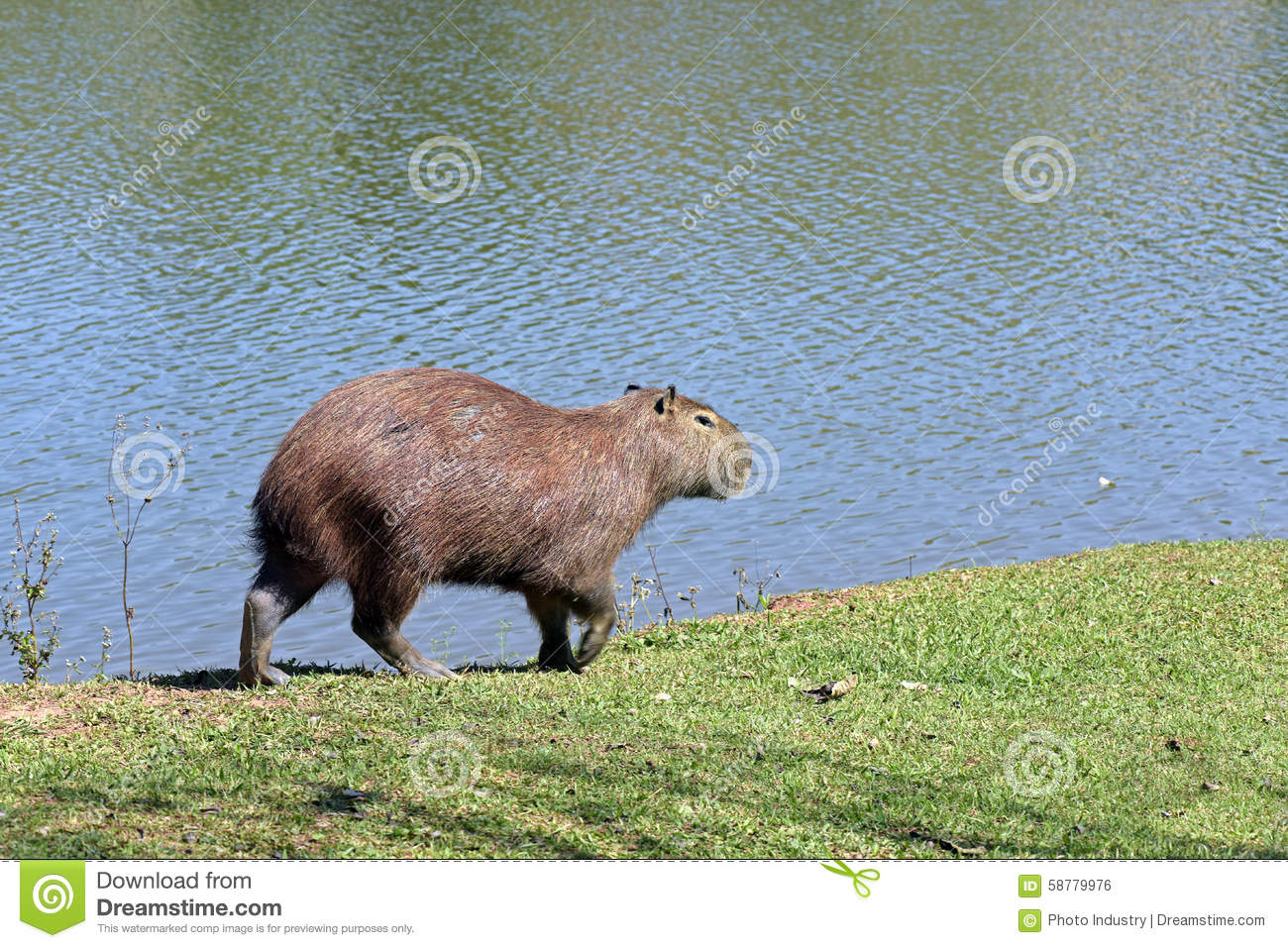 Capybara, The Largest Rodent In The World Stock Photo ...