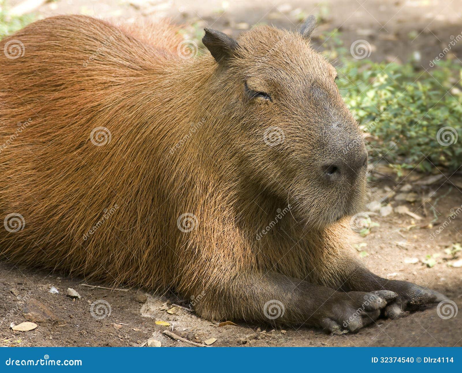 Capybara laying down stock photo. Image of biggest, grass ...