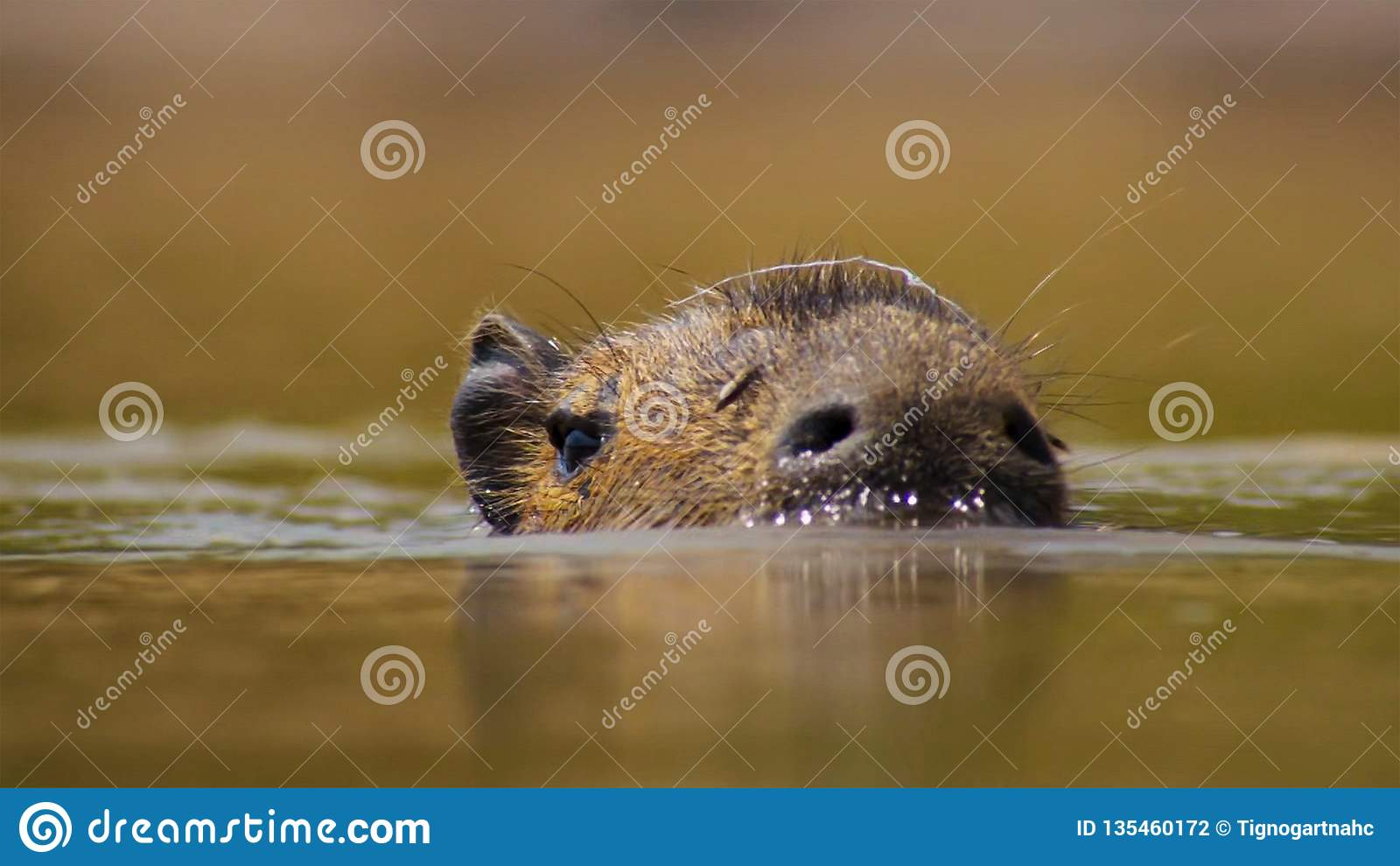 Capybara, Pantanal, Brasil Mamíferos grandes pelo lago
