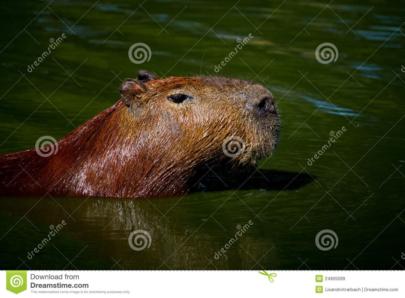 Capybara Swimming Royalty Free Stock Images - Image: 24905099