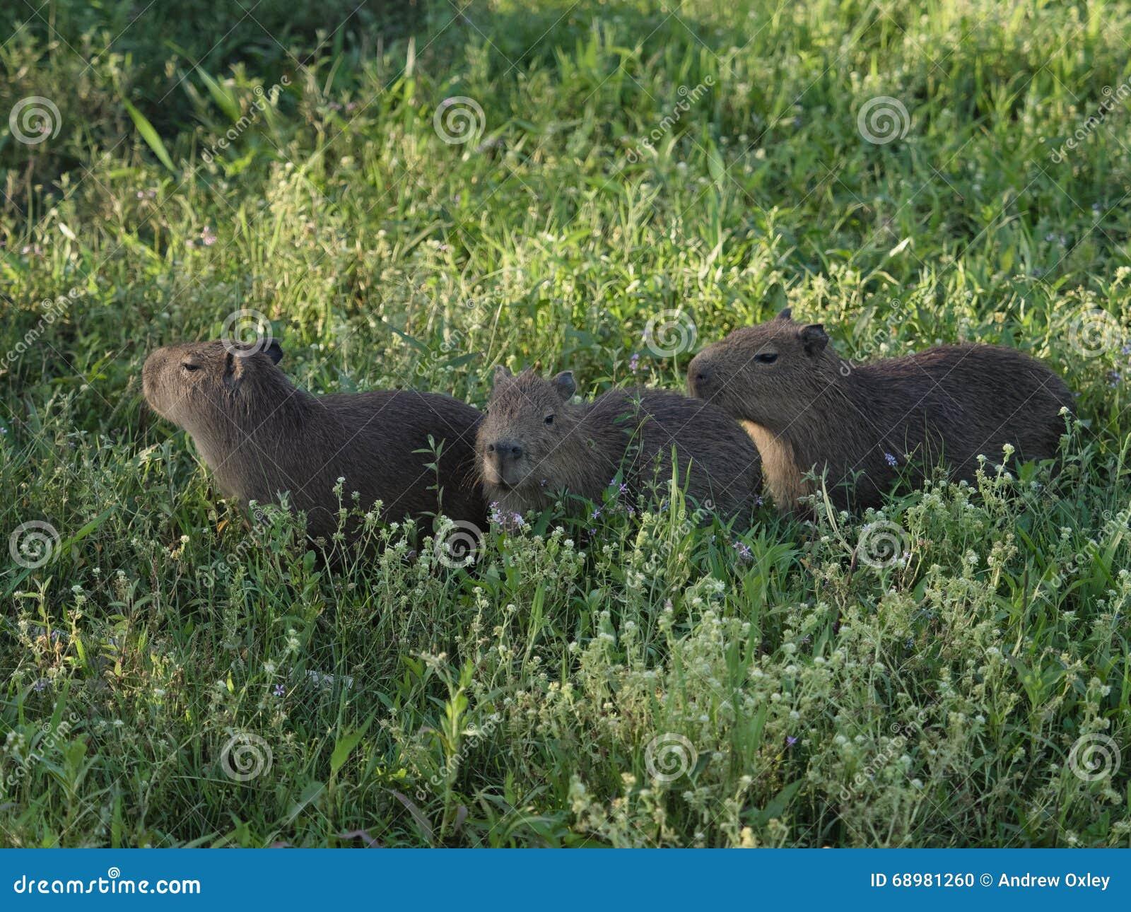 Capybaras del bebé, el roedor más grande