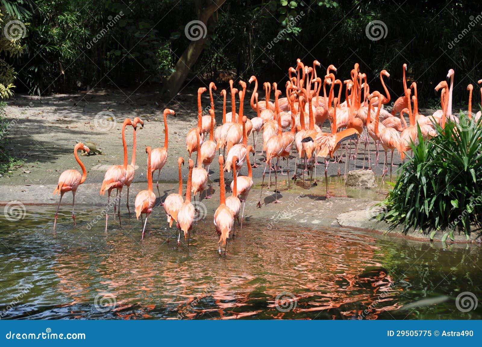 Caraïbische flamingo s