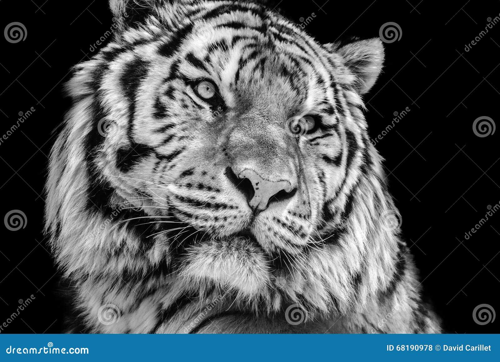 Cara blanco y negro potente del tigre del alto contraste
