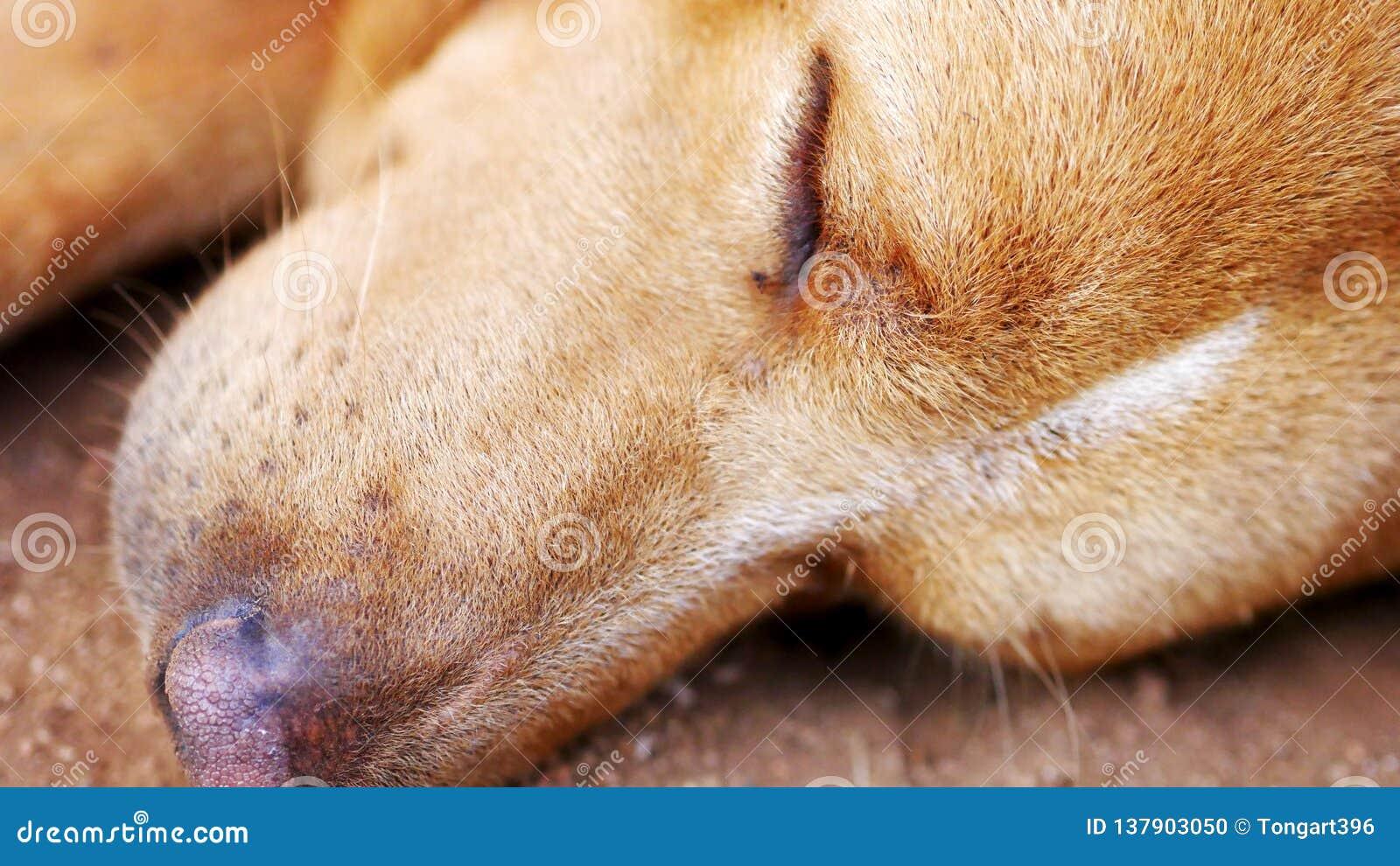 A cara de um cão do sono