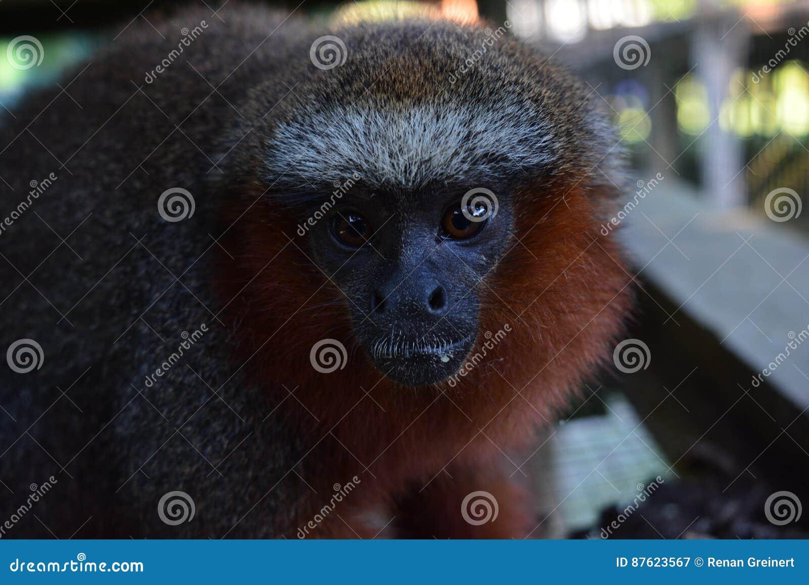 Cara de um macaco na selva das Amazonas, Peru