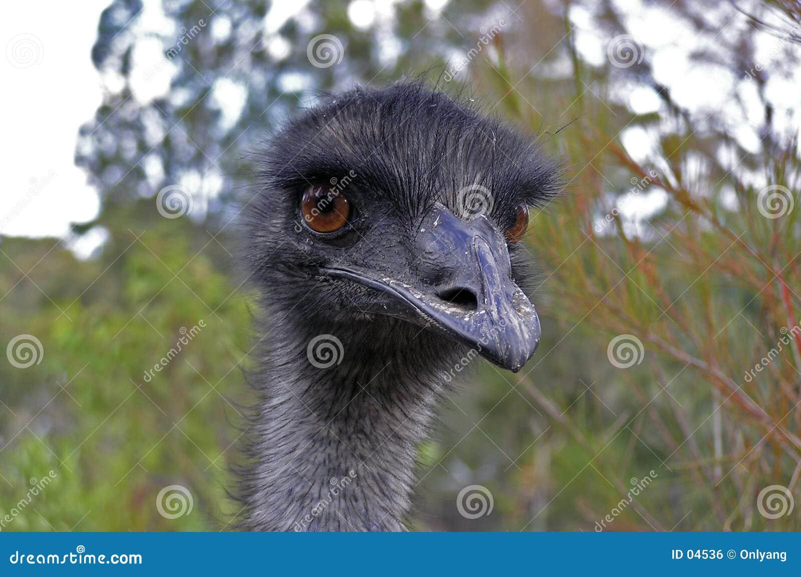 Cara del Emu