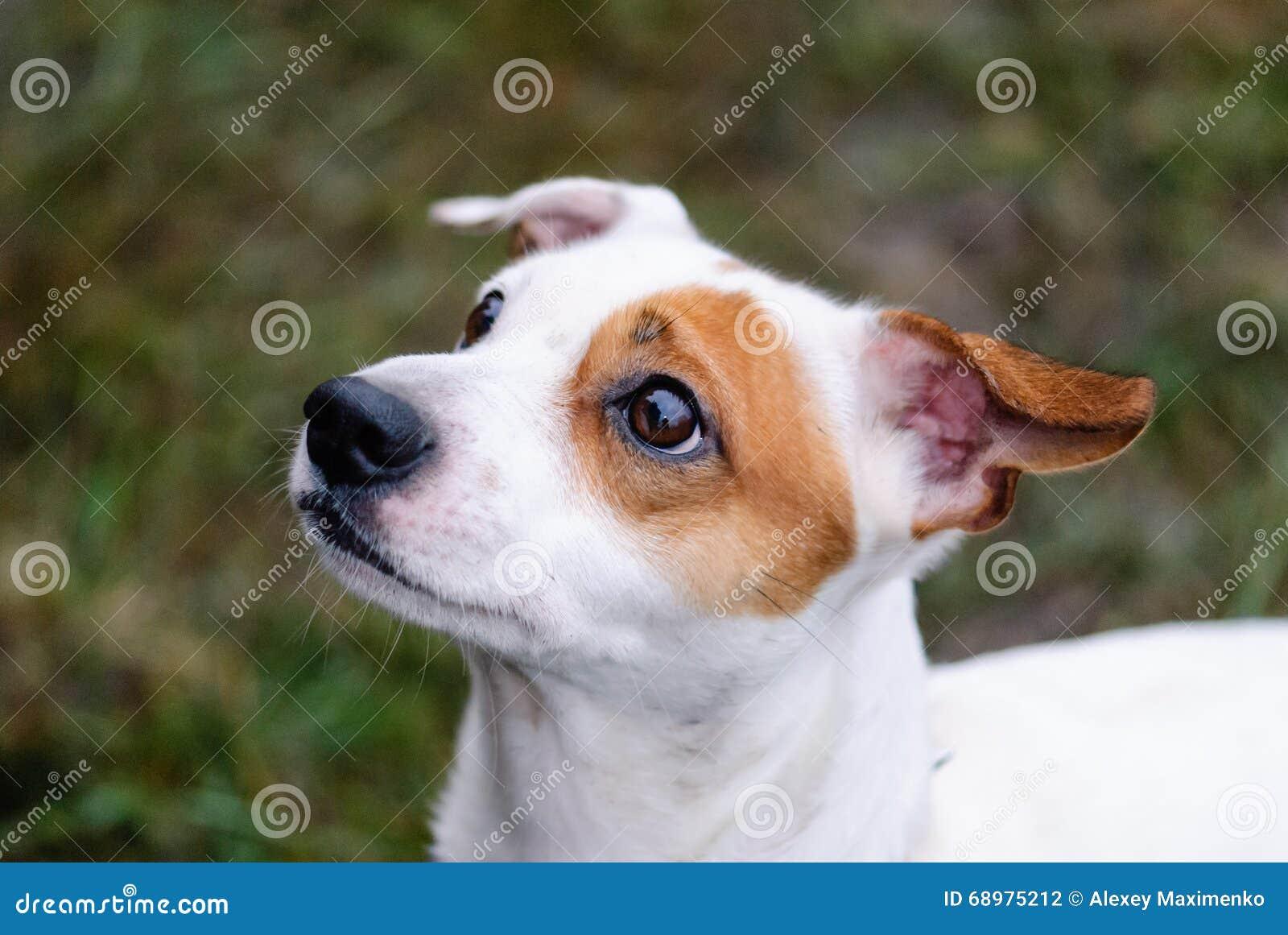 Cara del perro de Jack Russell Terrier con el petición de la expresión