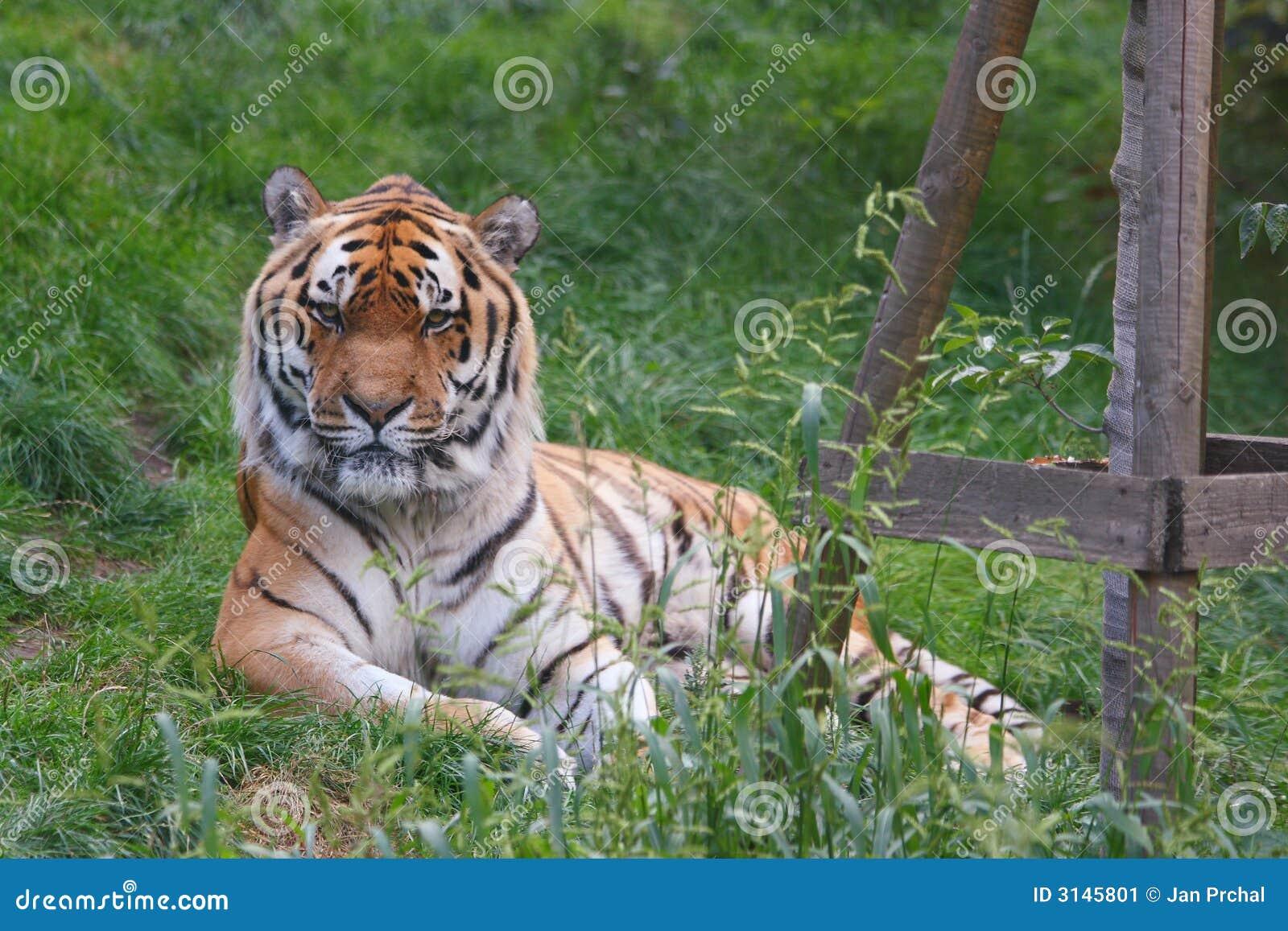 Cara del tigre