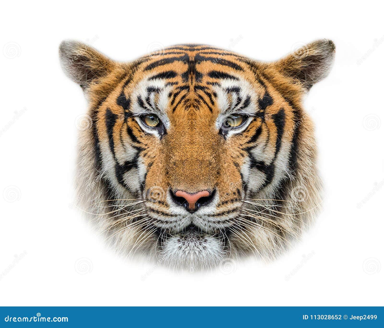 Cara del tigre en el fondo blanco