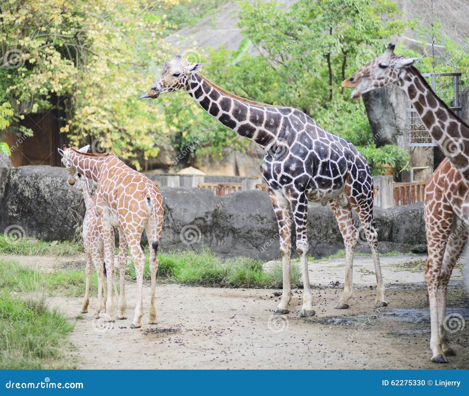 A cara do girafa