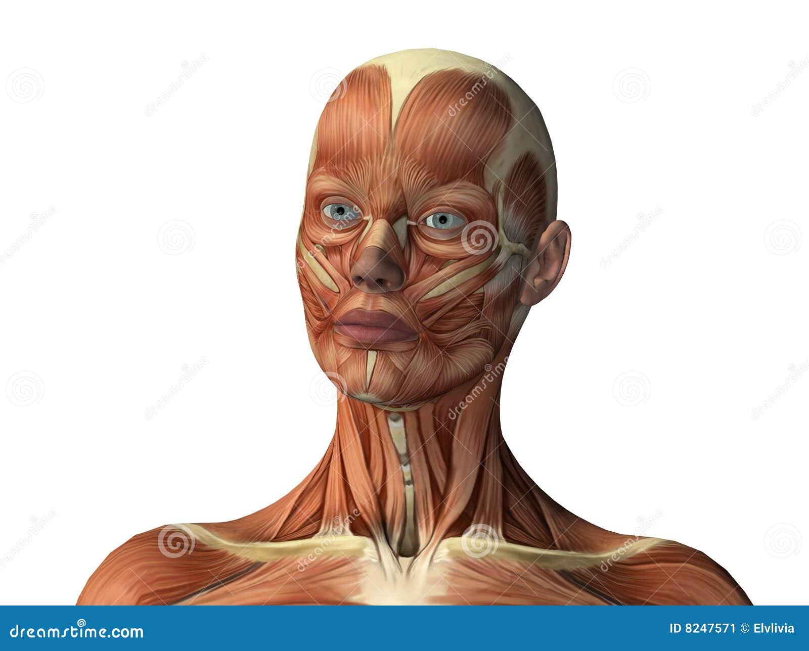 Hermosa Cara De La Mujer Anatomía Fotos - Anatomía de Las ...