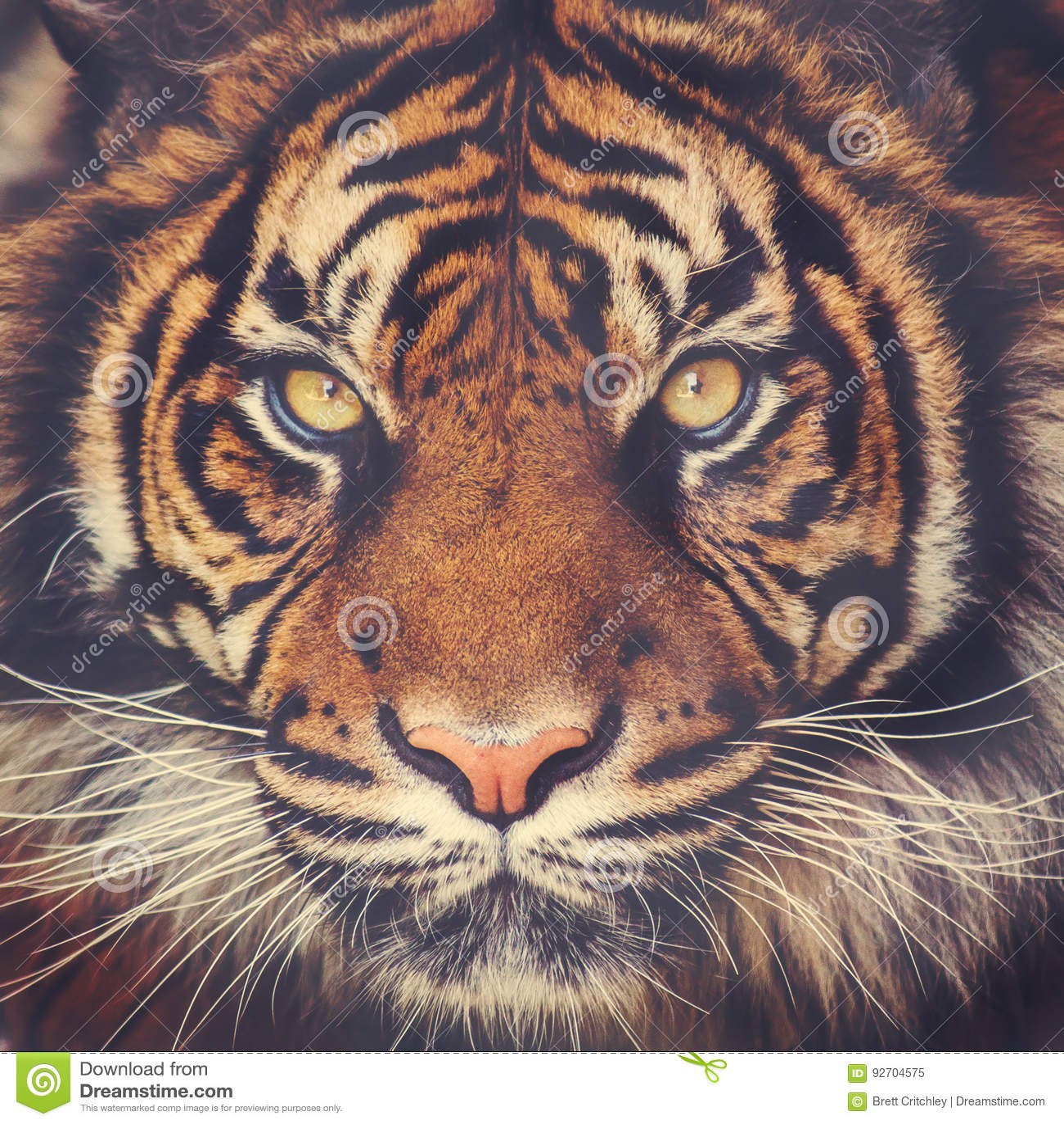 Cara imponente del tigre