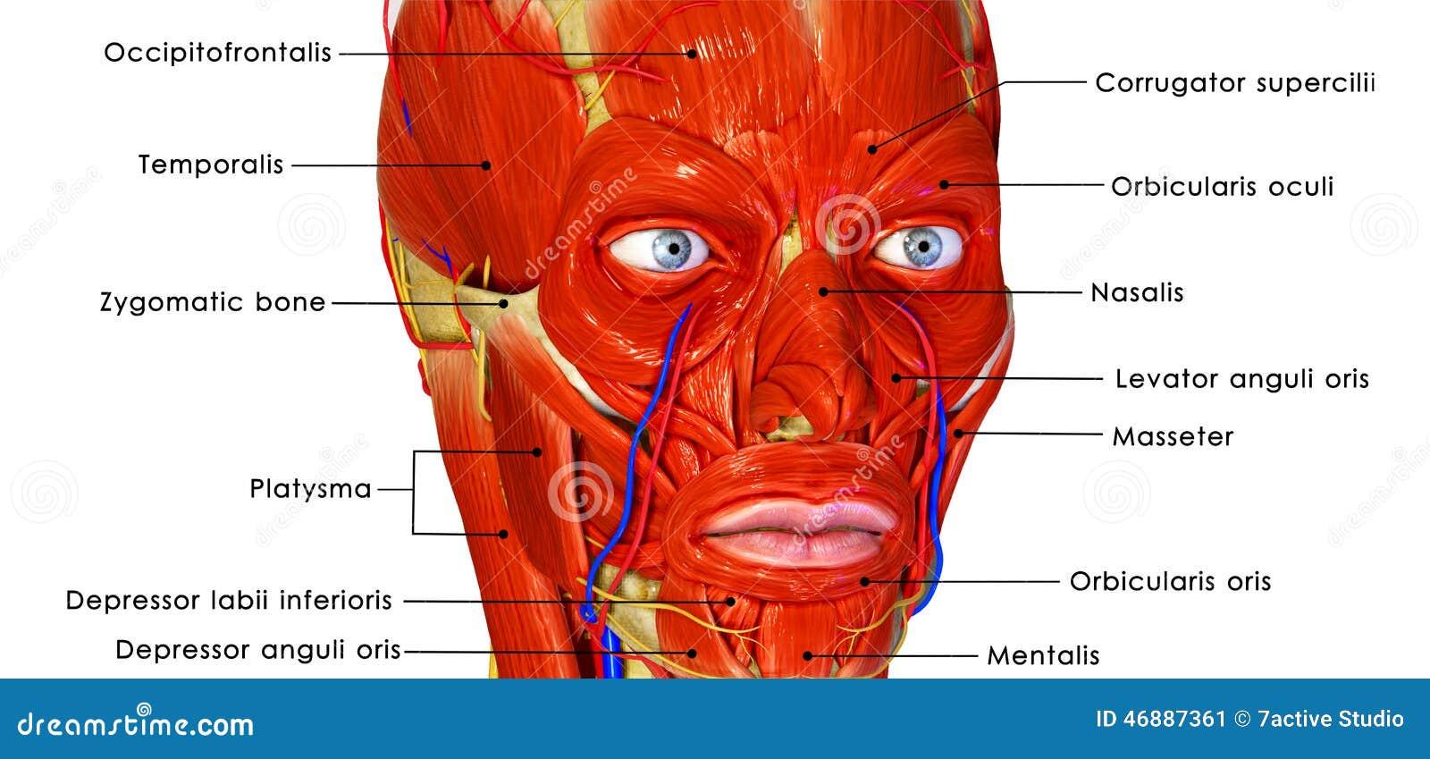 Cara muscular stock de ilustración. Ilustración de fondo - 46887361