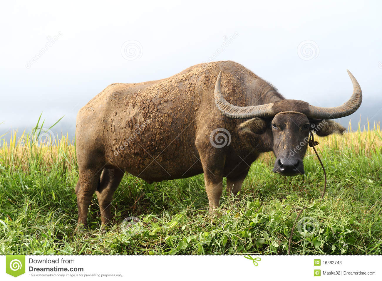 Water buffalo or carabao grazing in a field.