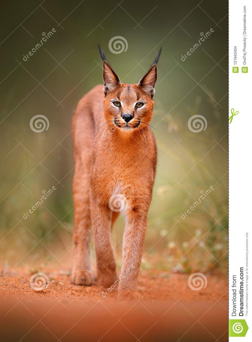 Caracal, African lynx, in green grass vegetation. Beautiful wild cat in nature habitat, Botswana, South Africa. Animal face to fac
