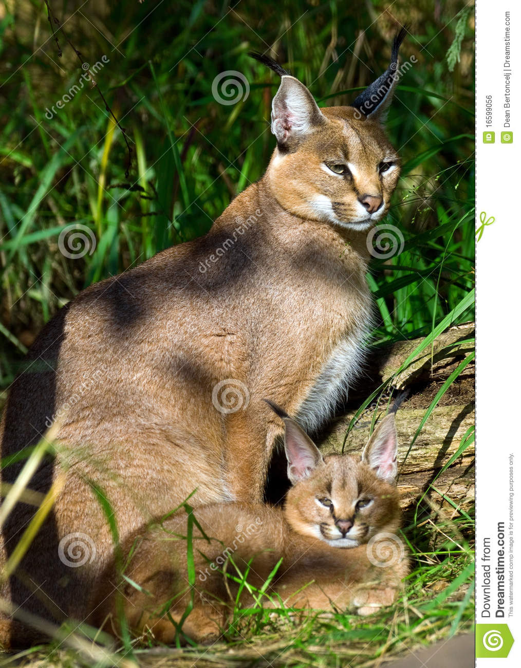 Caracal with baby
