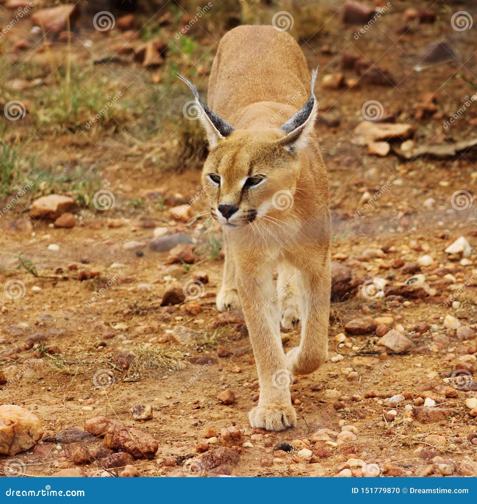Caracal capturou em Namíbia