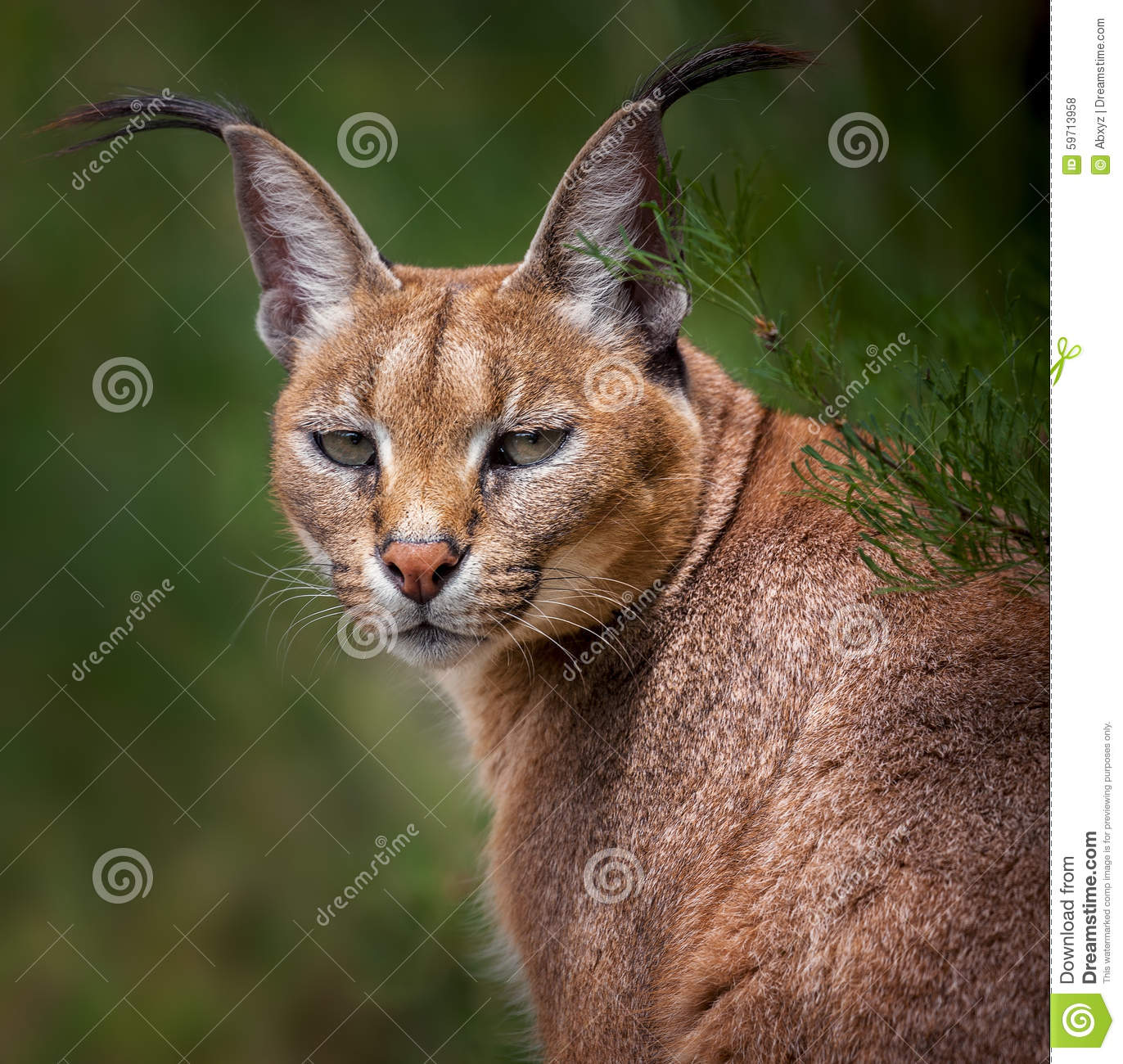 management plan for caracal The overall goal of the predation management forum is to address predation by  black-backed jackals and caracals by reestablishing a national program to in.
