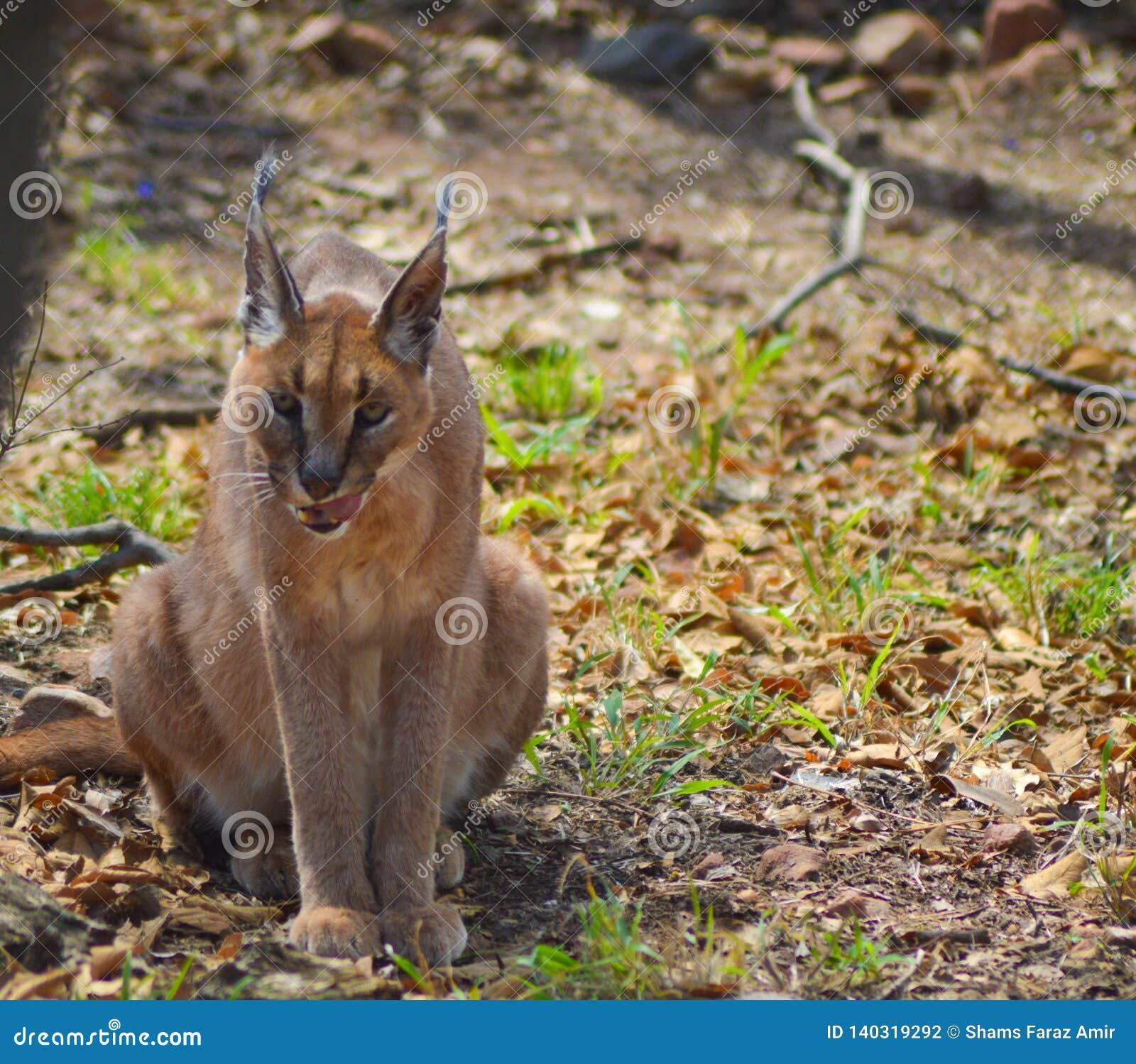 Caracal igualmente sabe como o gato dourado africano