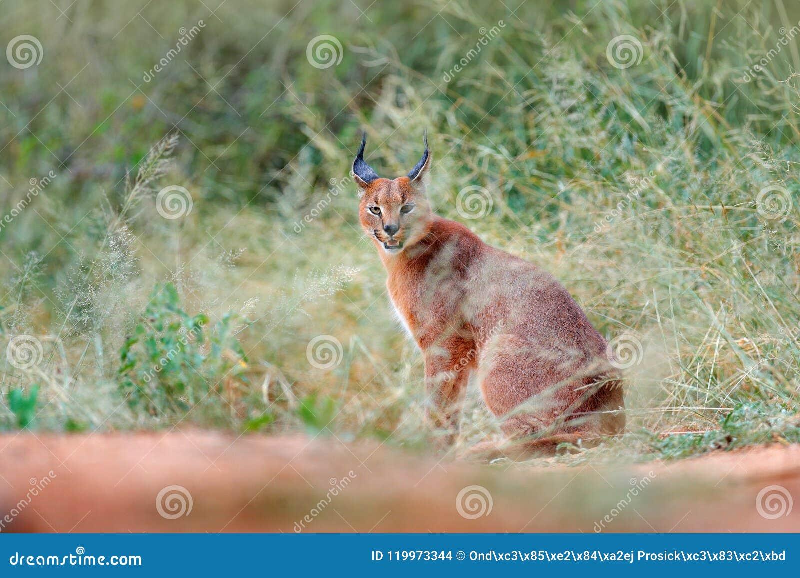 Caracal, lince africano, escondido na vegetação da grama verde Gato selvagem bonito no habitat da natureza, Botswana, África do S