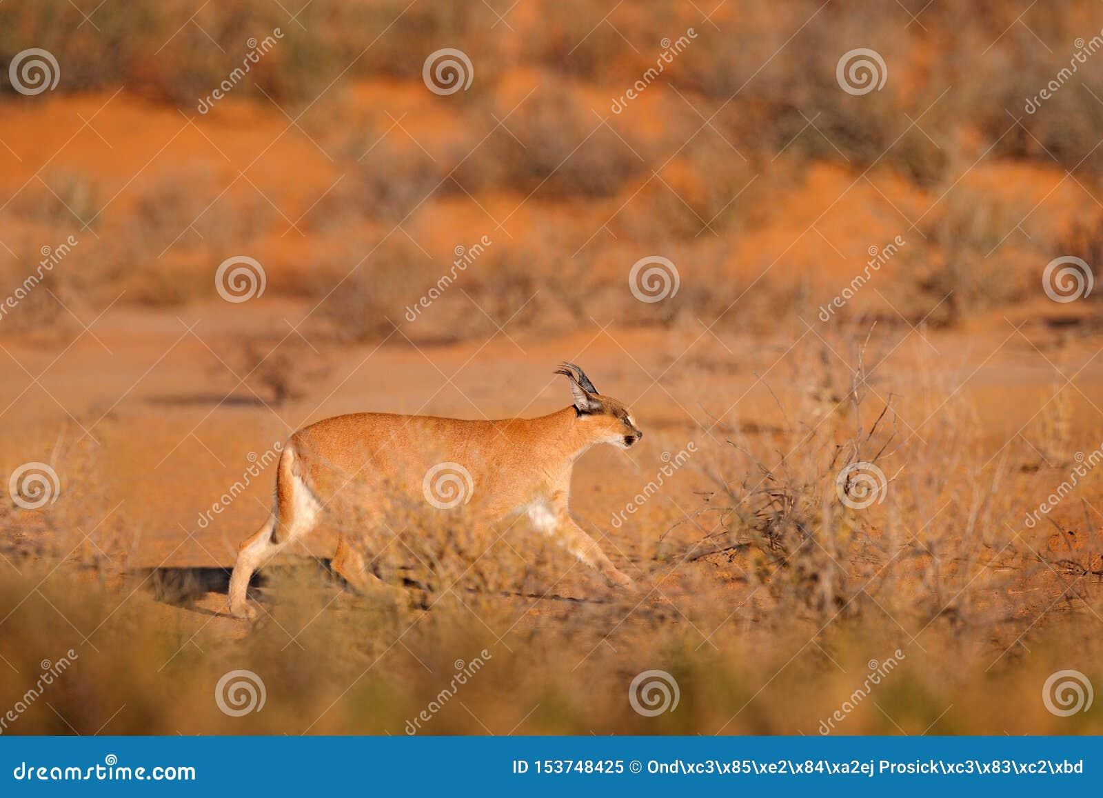 Caracal, lince africano, no deserto vermelho da areia Gato selvagem bonito no habitat da natureza, Kgalagadi, Botswana, África do