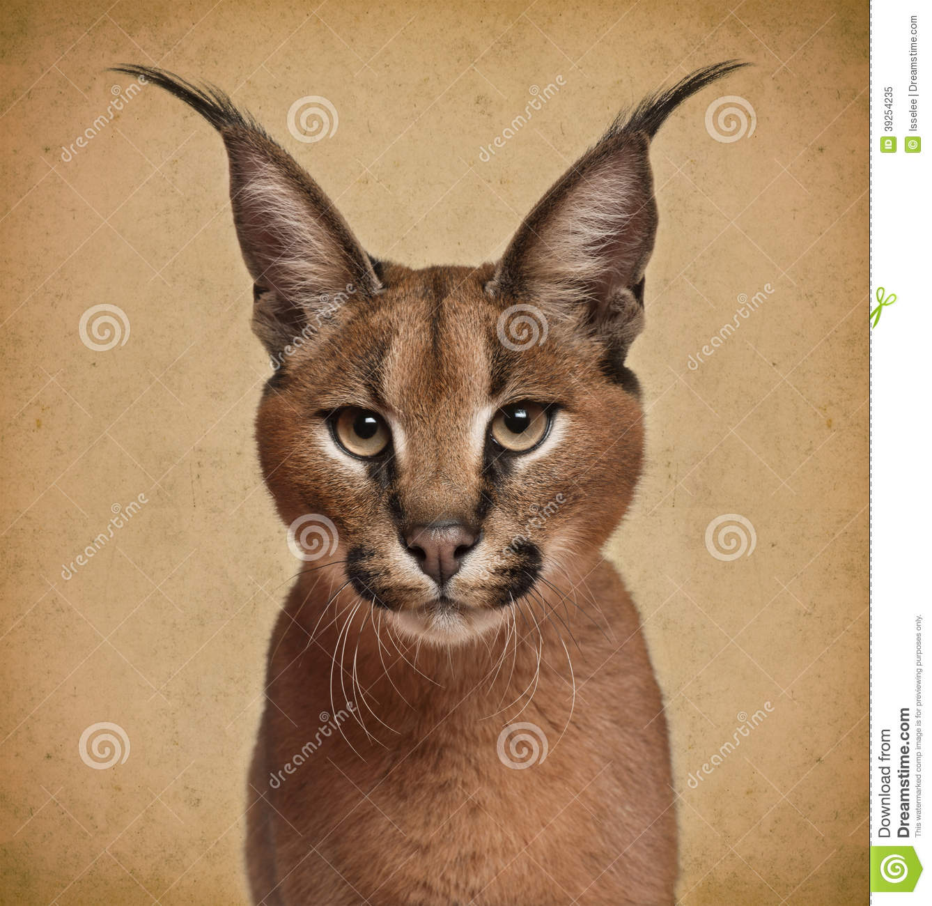 African Cat Big Ears