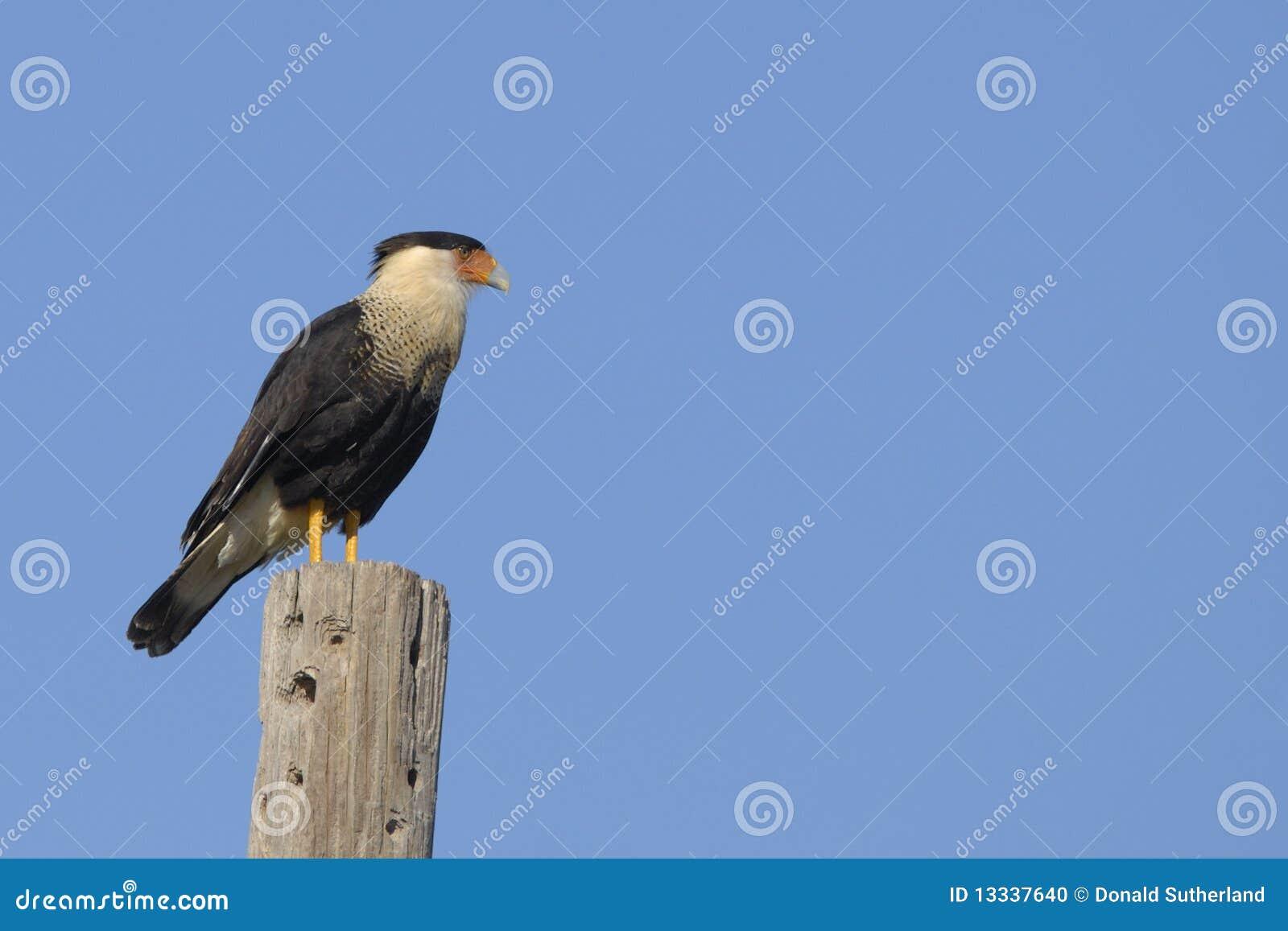 Caracara (Caracara cheriway)
