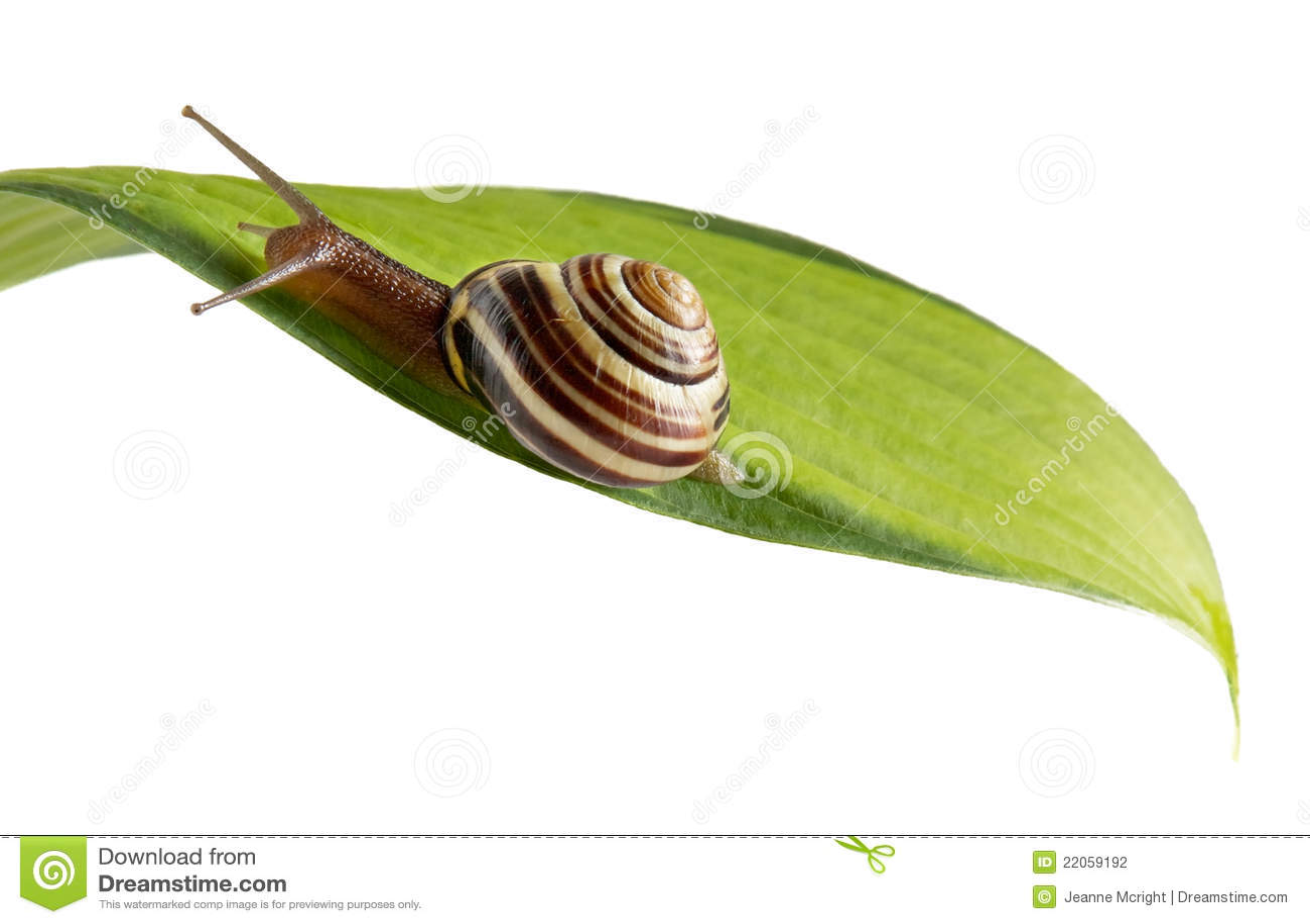 Caracol de jard n en la hoja horizontal larga fotograf a for Caracol de jardin de que se alimenta