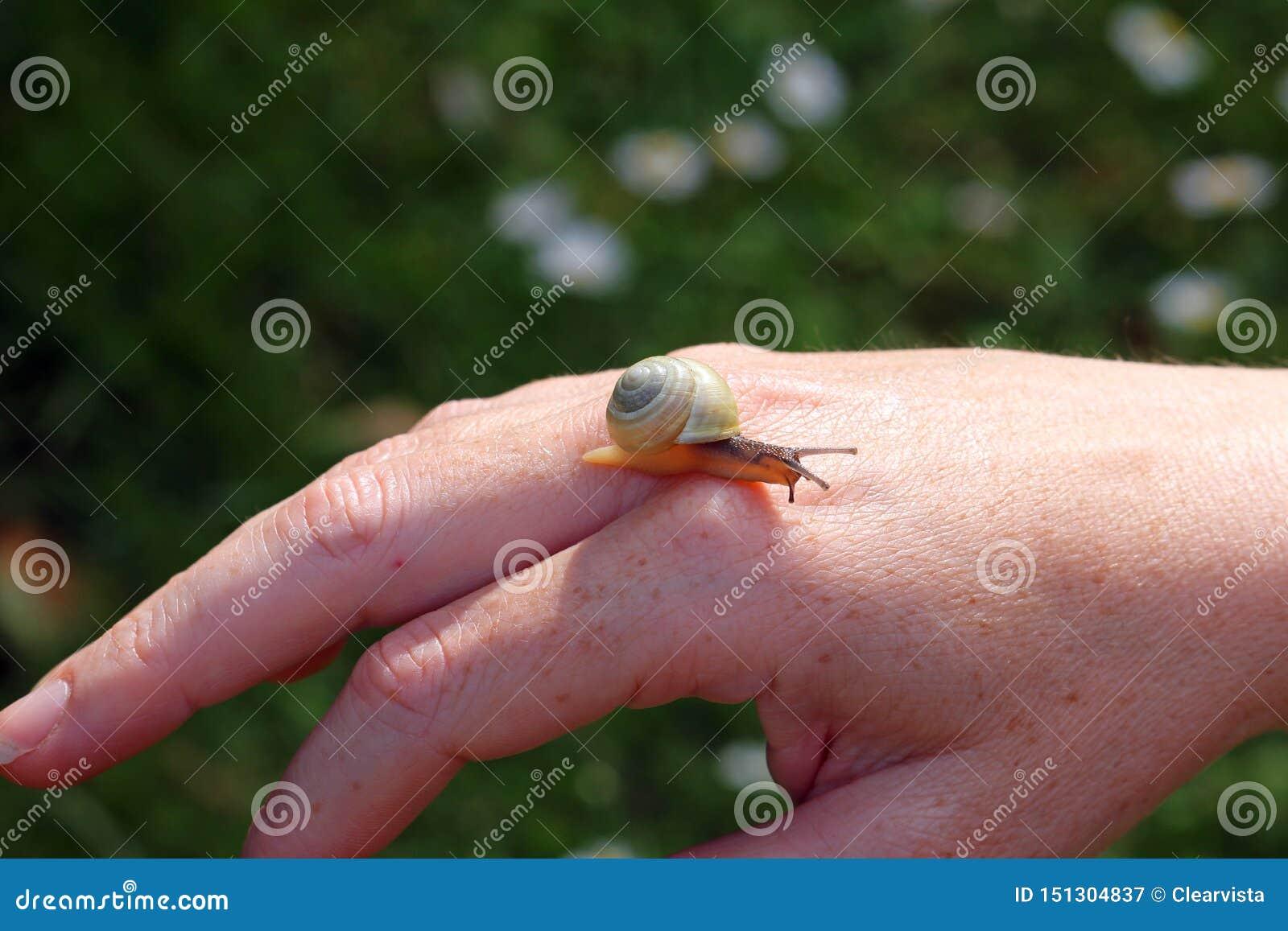 Caracol de jardín en una mano humana