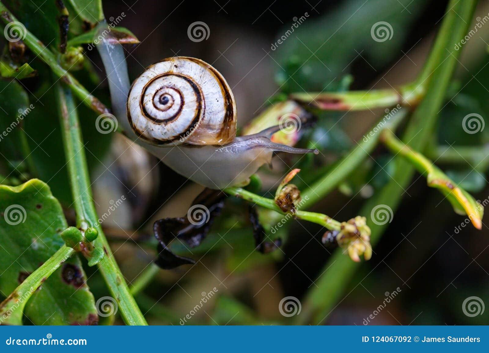 Caracol marcado, hortensis de Cepaea