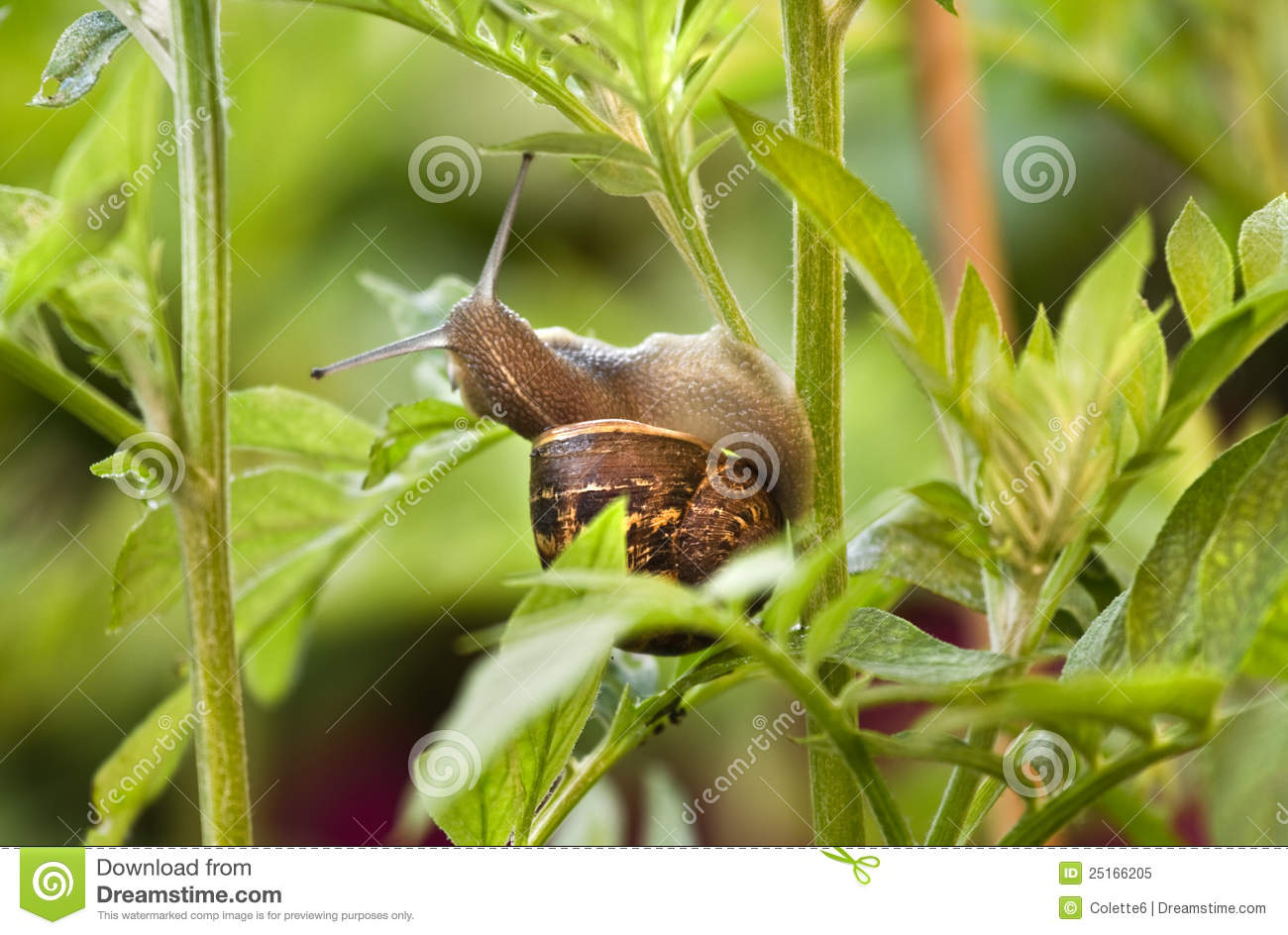 Caracol que come as folhas e planta prejudicial foto de for Caracol de jardin que come