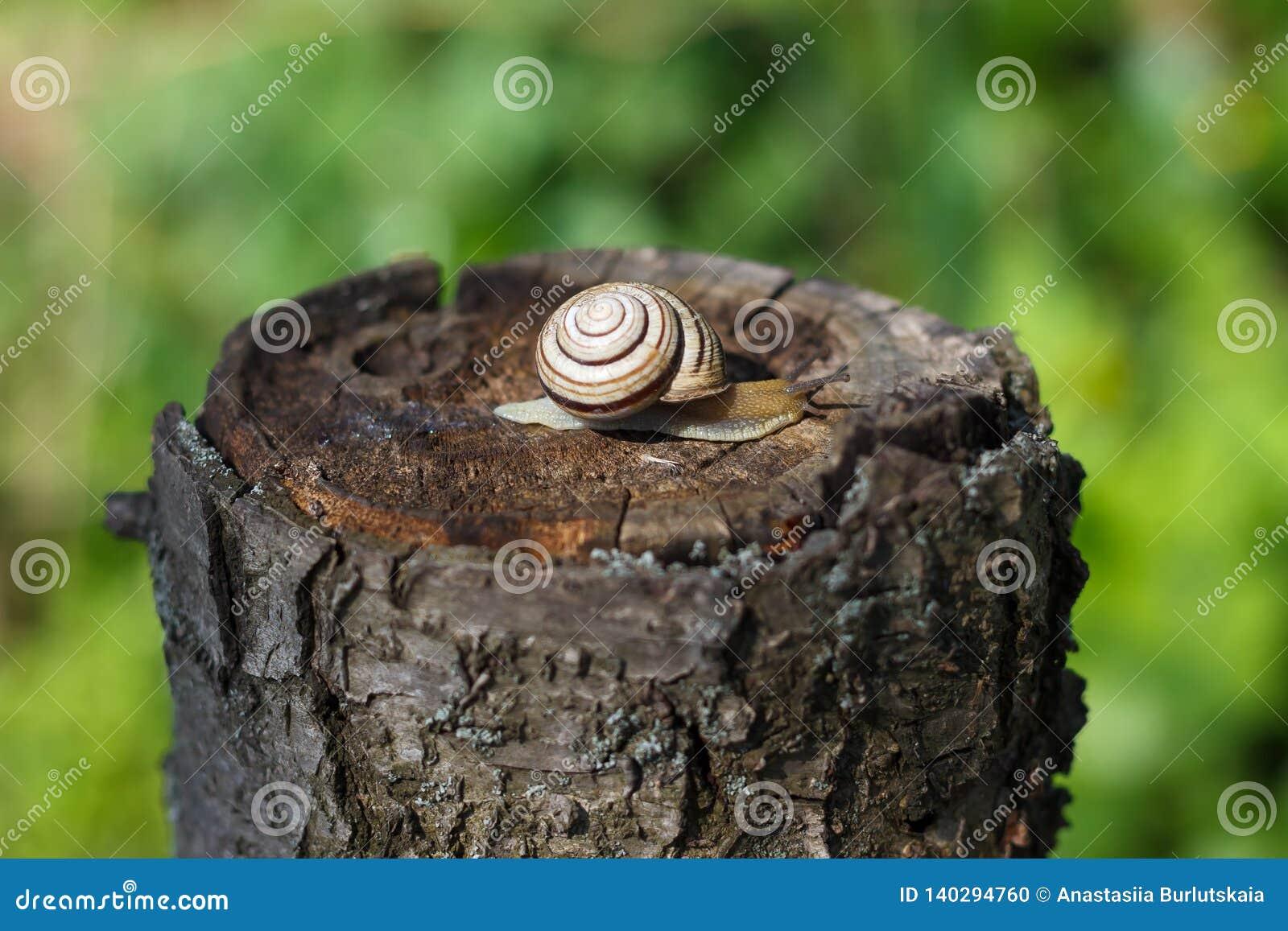 Caracol que se arrastra en un árbol o una corteza