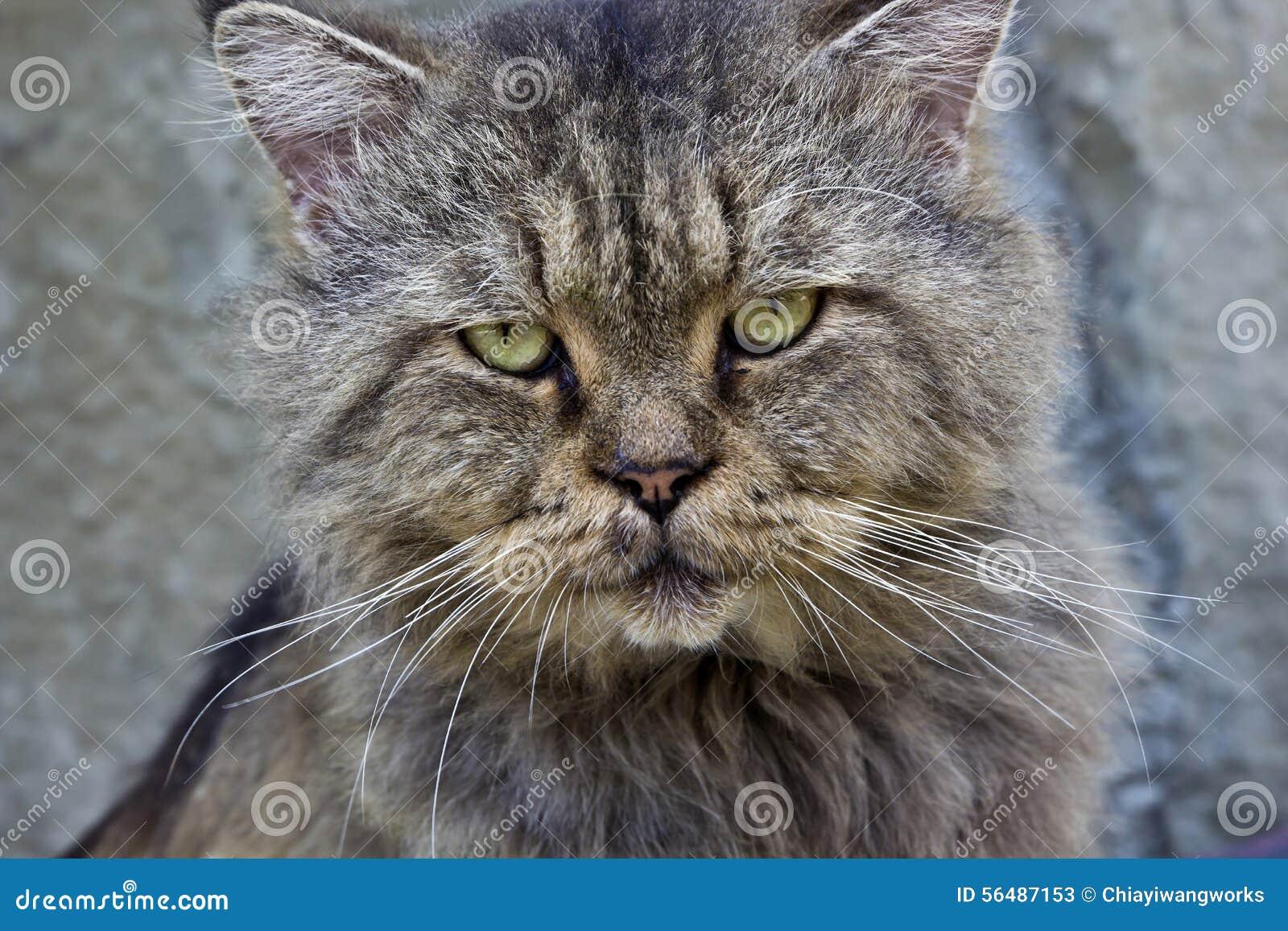 Caractéristiques de massage facial de chat d animal familier